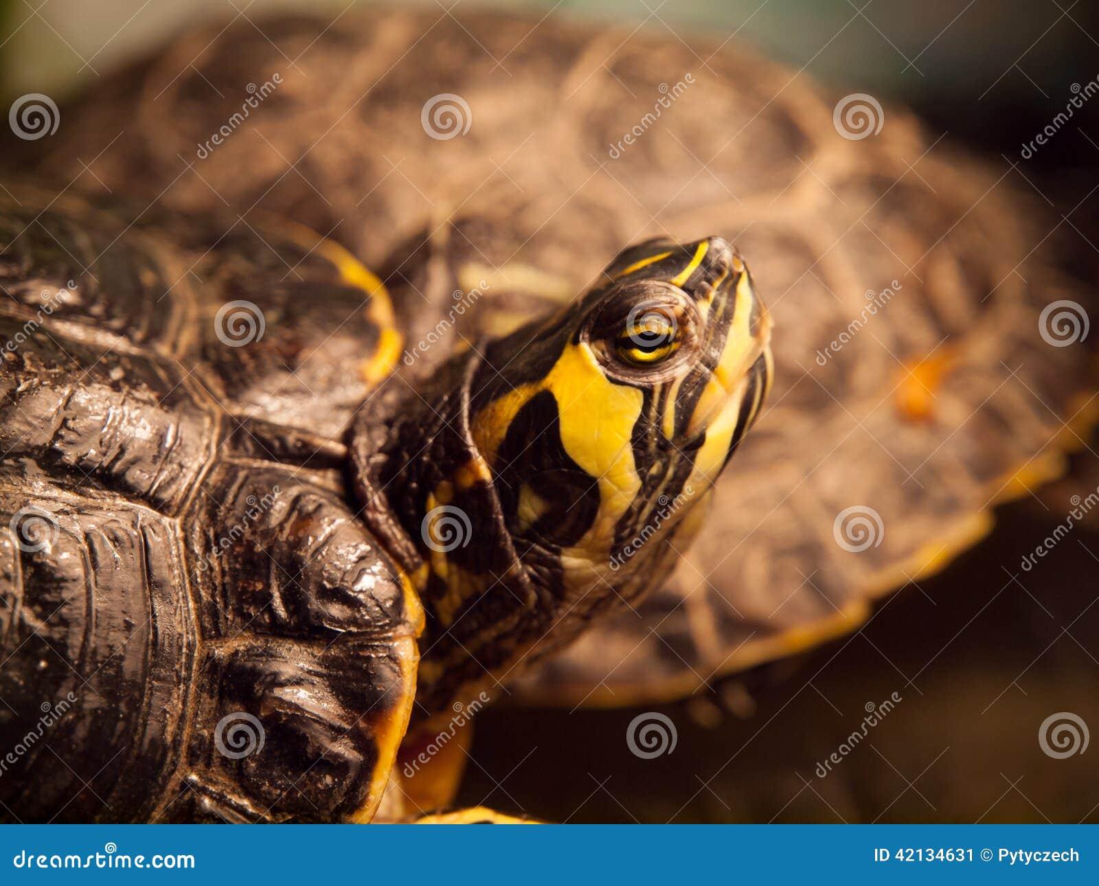Tartaruga Vermelho-orelhuda do slider