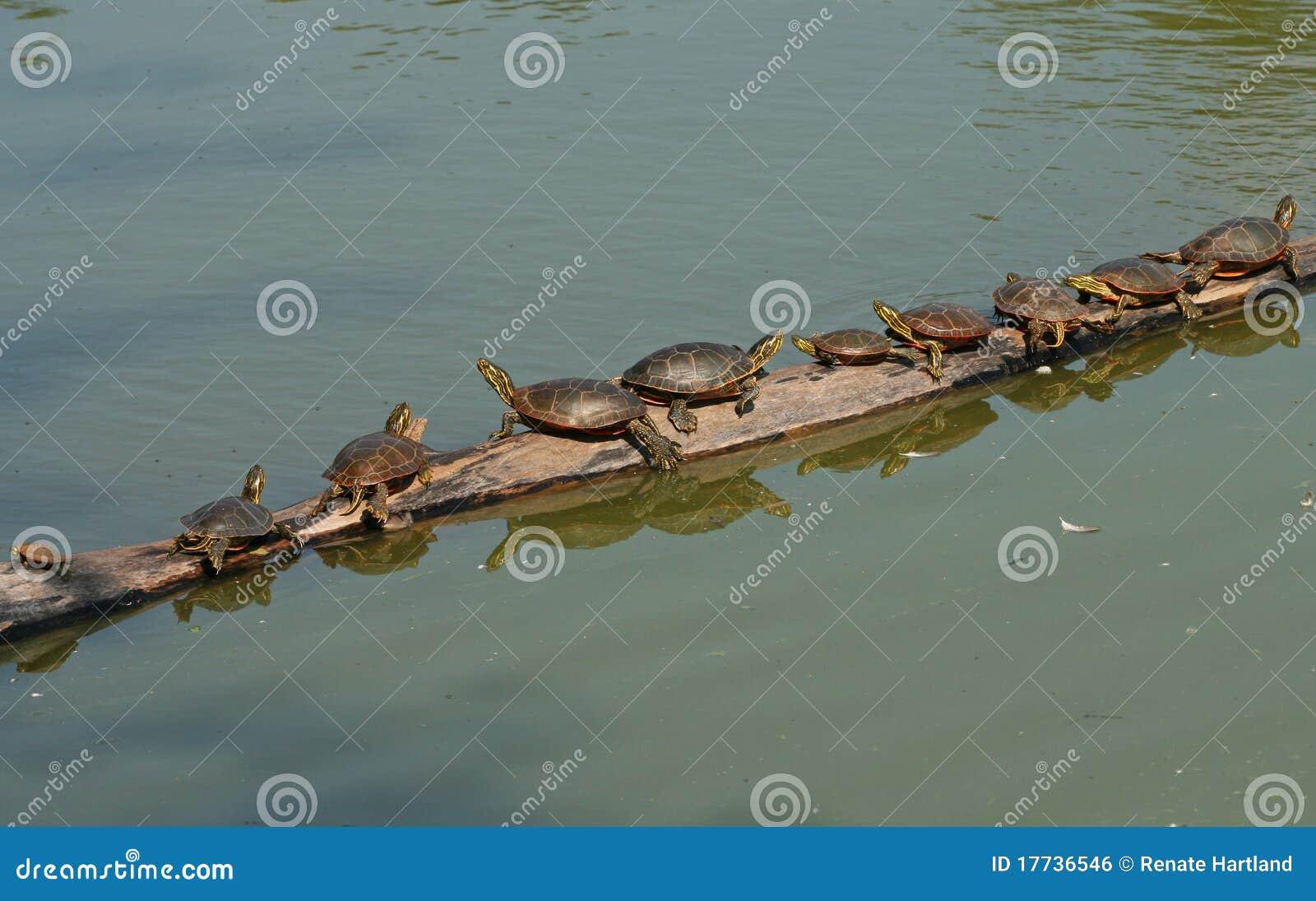 Tartarugas em um registro