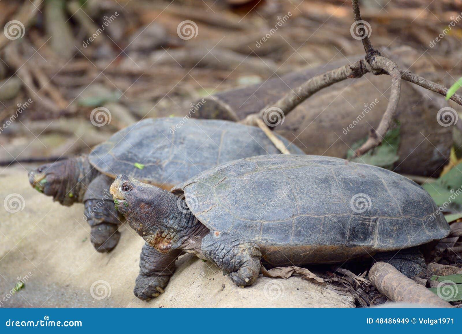 Tartarughe asiatiche giganti dello stagno immagine stock for Tartarughe in amore