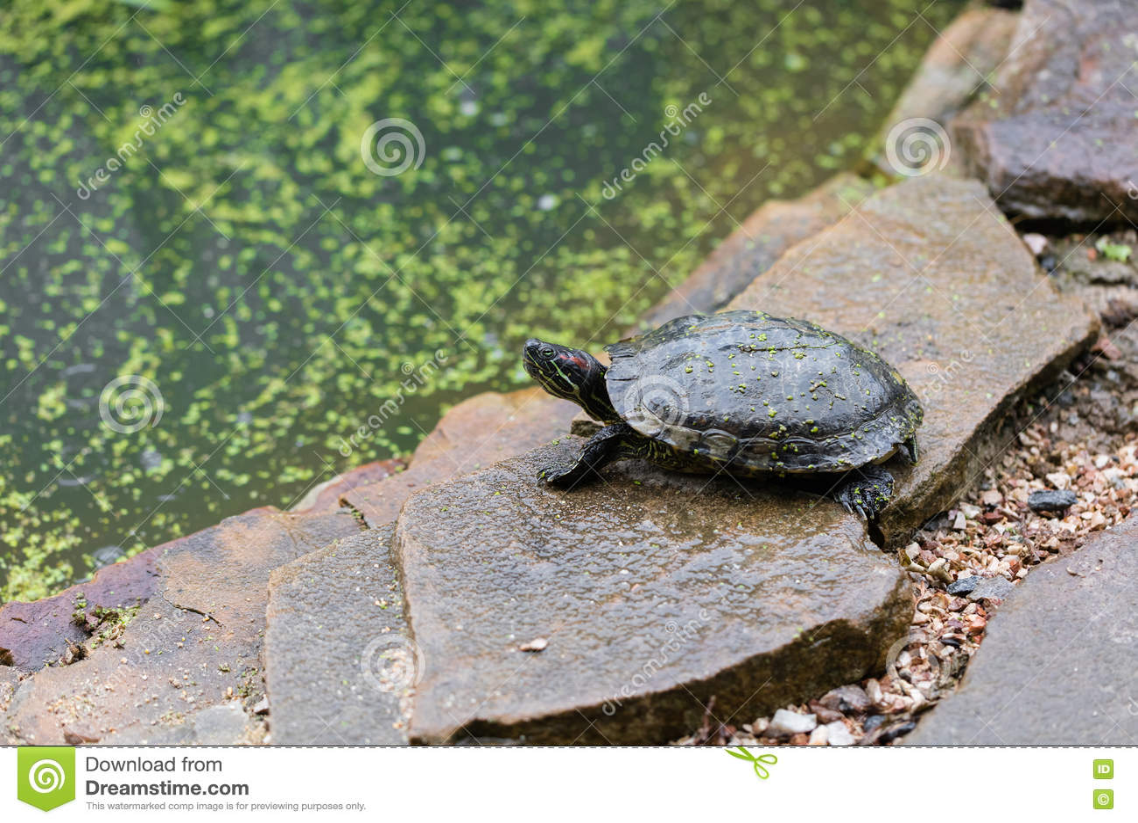 Tartarughe d 39 acqua dolce una fotografia stock immagine for Stagno per tartarughe