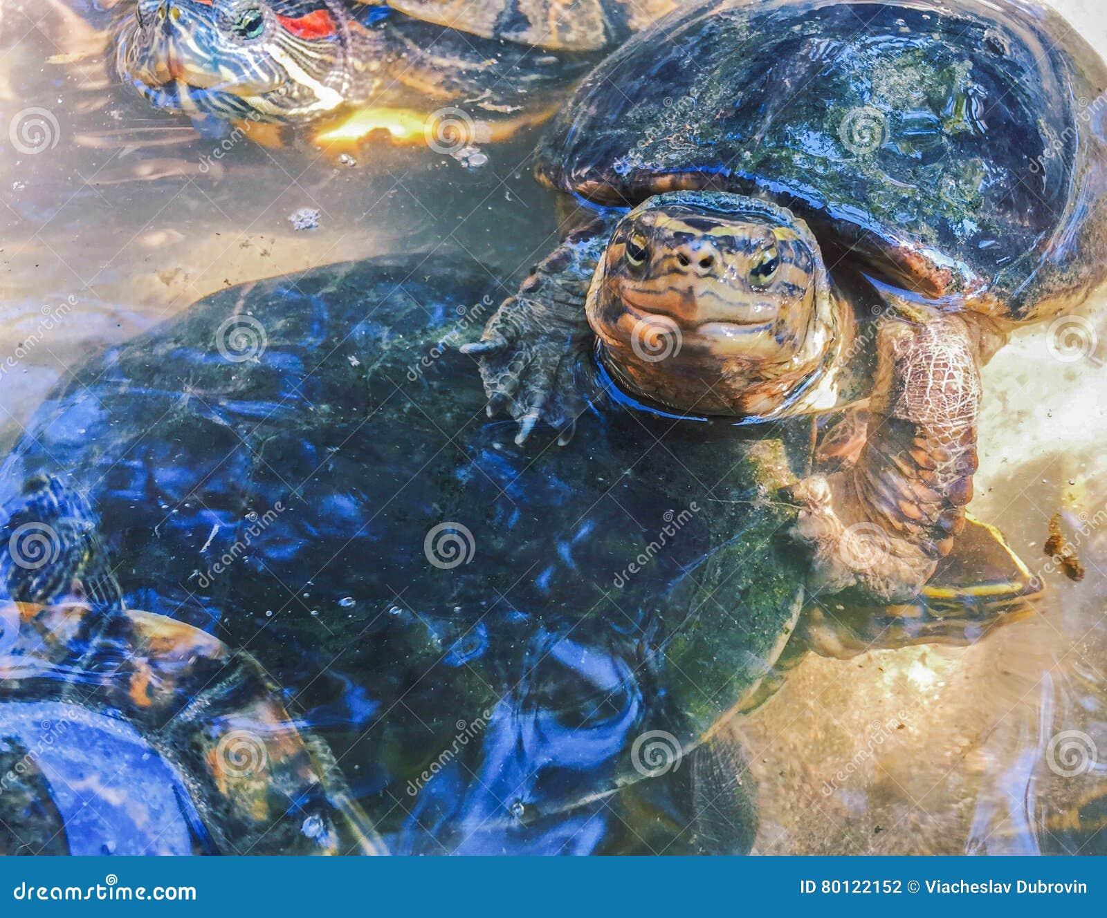 Tartarughe del cursore dello stagno in acqua dolce for Stagno per tartarughe