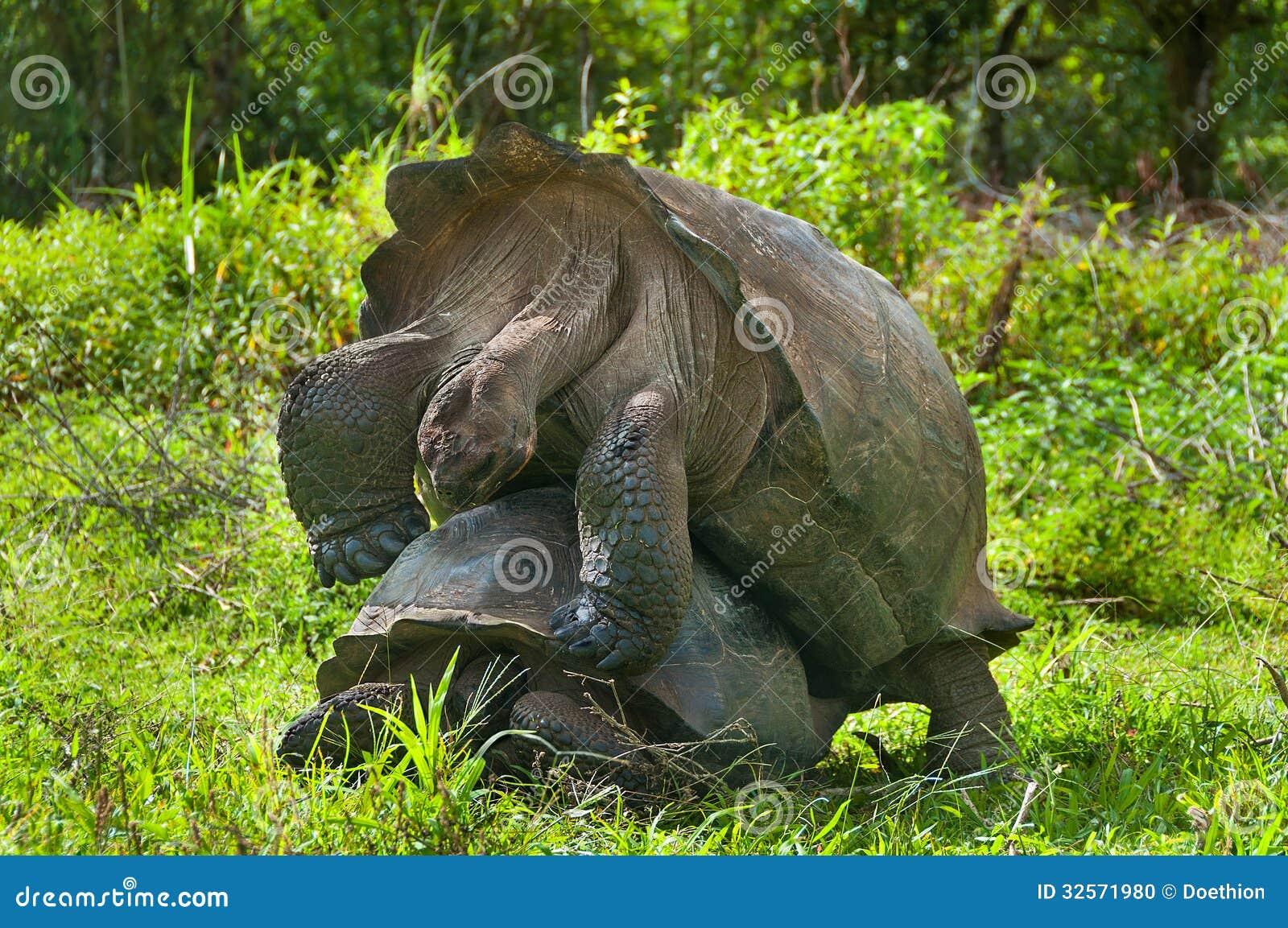 Tartarughe giganti accoppiamento fotografia stock for Accoppiamento tartarughe