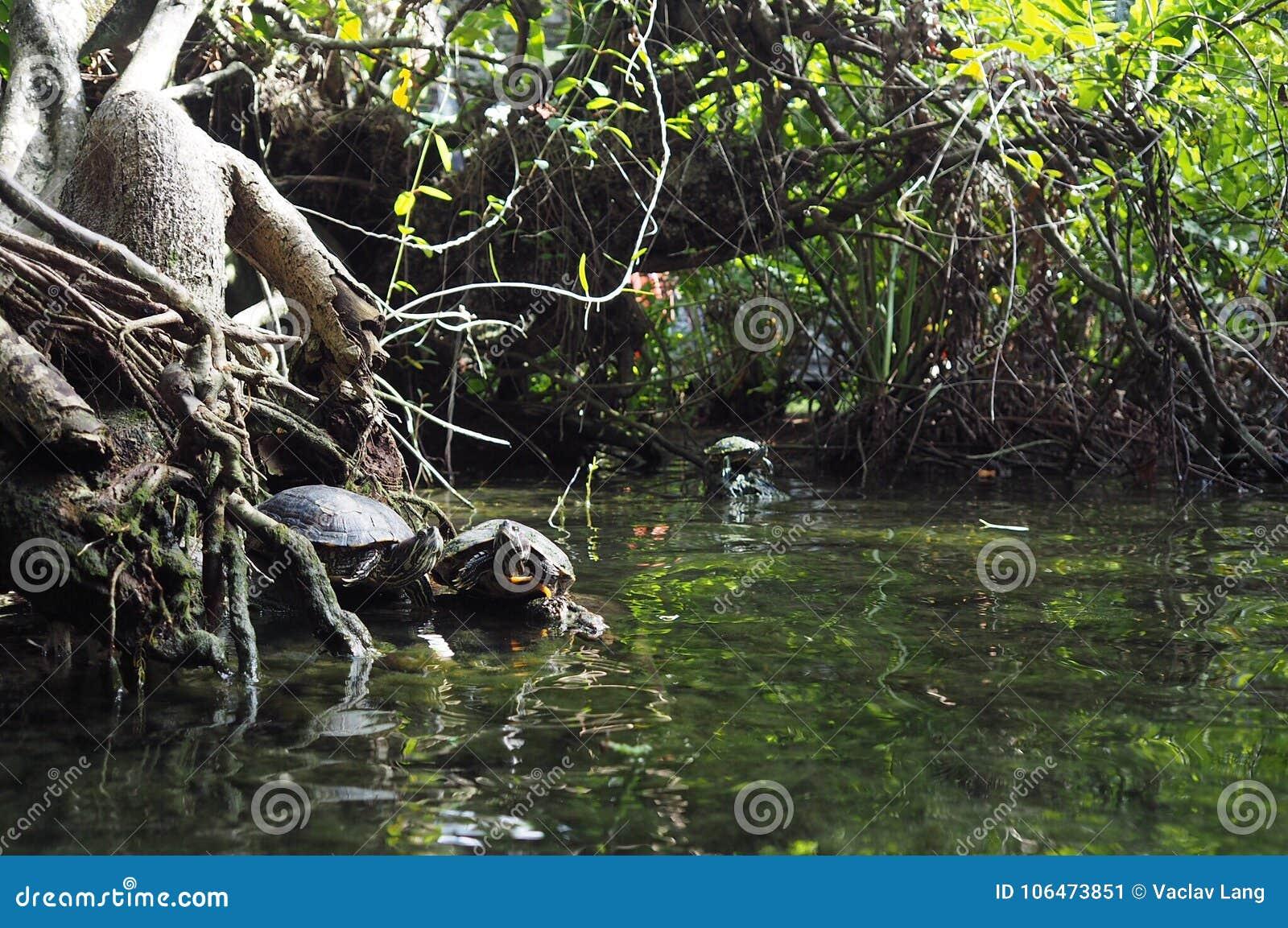Tartarughe in Gran Cenote, Yucatan