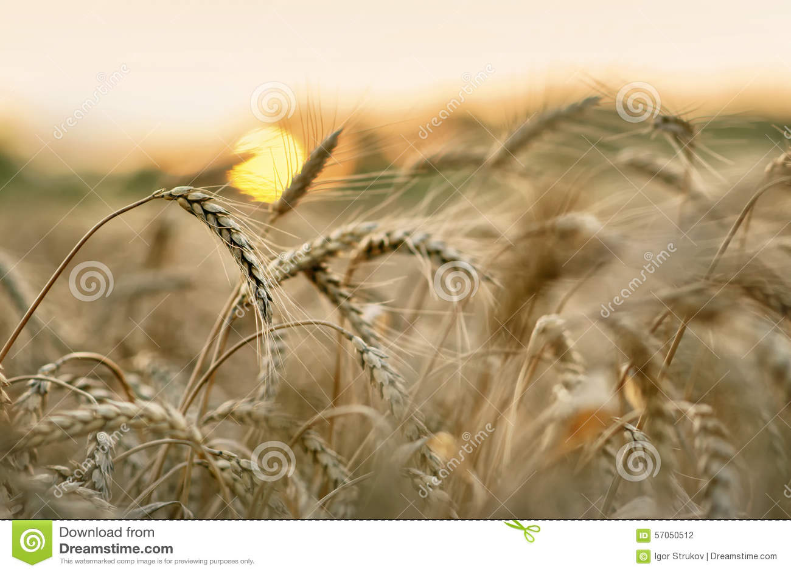 Tarwe en zon
