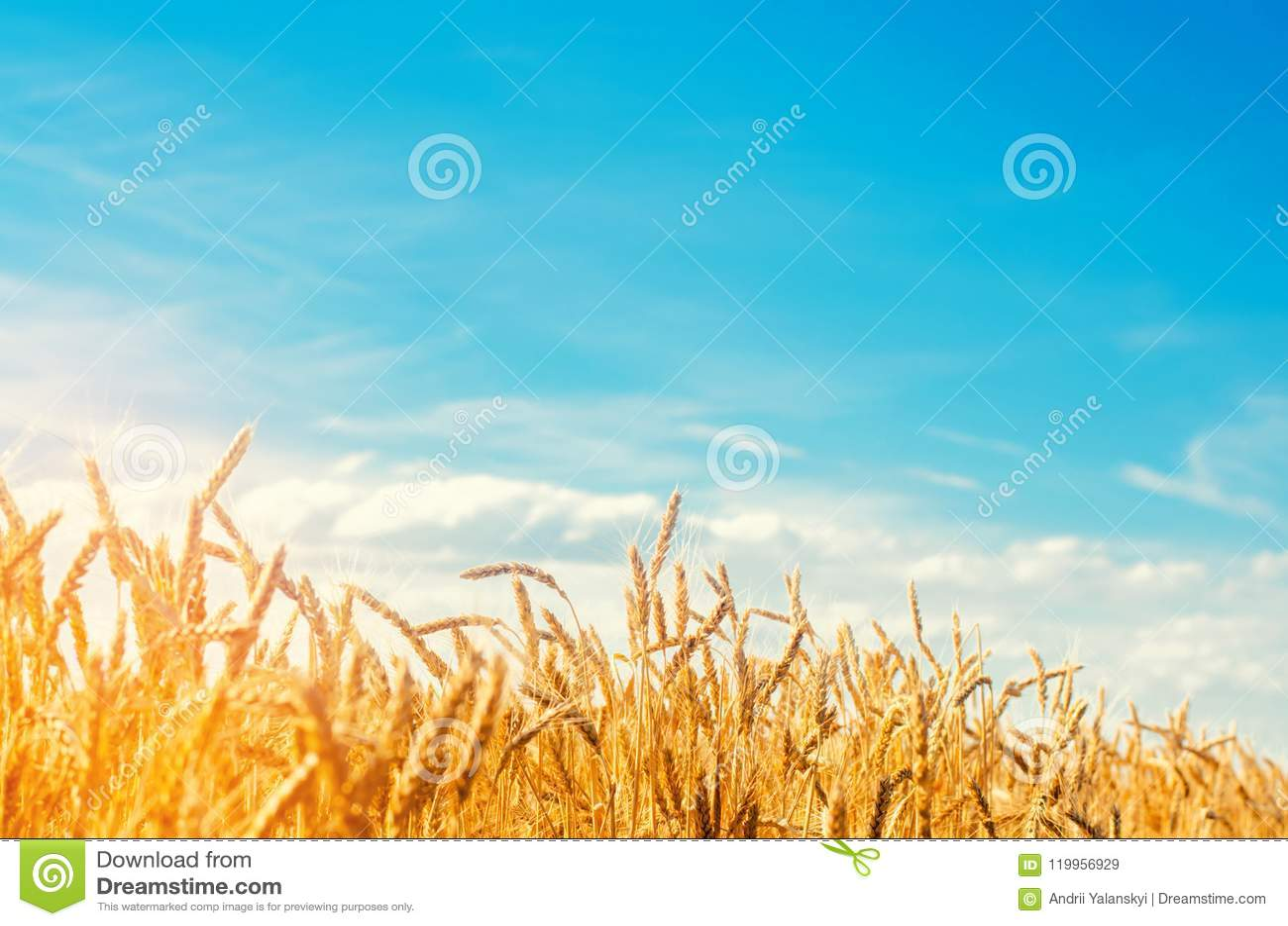Tarweaar en blauw hemelclose-up Een gouden gebied Mooie Mening symbool van oogst en vruchtbaarheid Het oogsten, brood