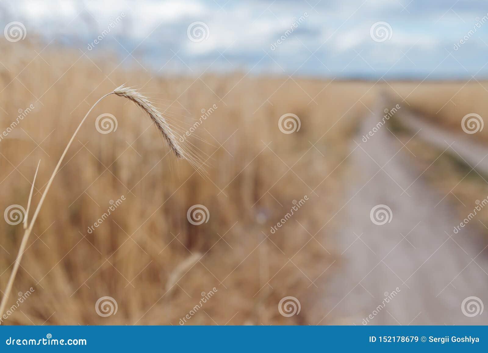 Tarweaartje op het gebied