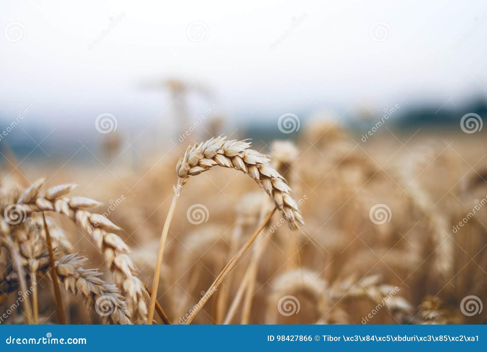 Tarwegebied in een de zomerdag Natuurlijke achtergrond zonnig weer Landelijk scène en het glanzen zonlicht landbouw