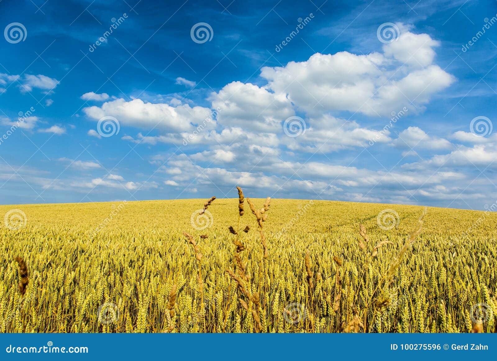 Tarwegebied met blauwe hemel en witte wolken in de voorgrond in het midden van sommige grote stelen, Weizenfeld mit blauem Himmel