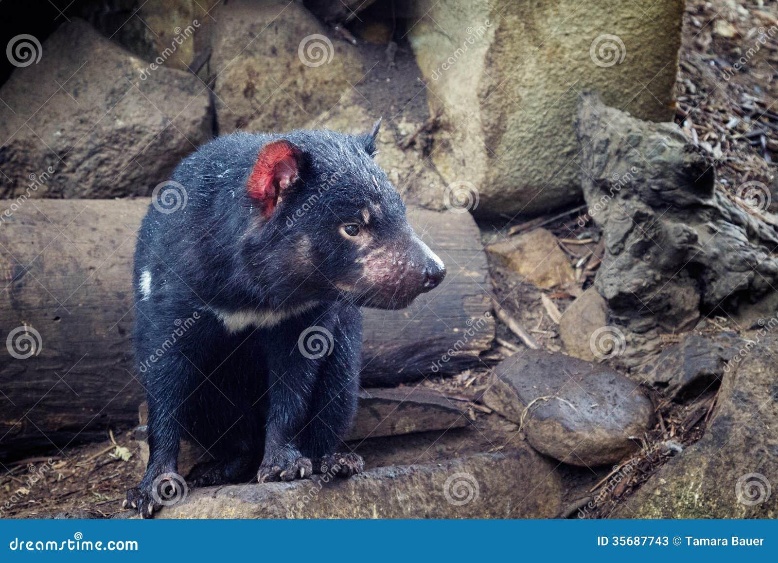 Tasmanian дьявол