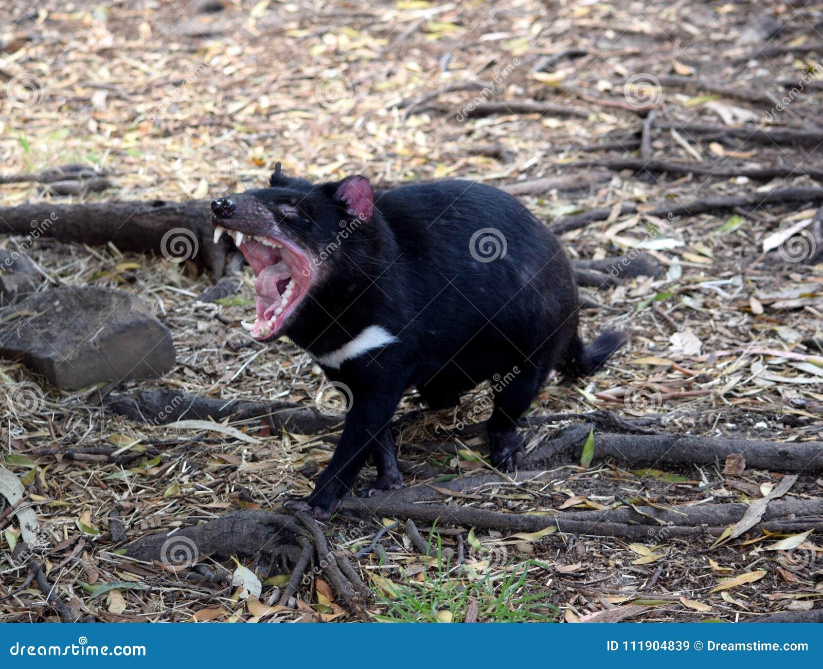 Tasmanian Devil, Tasmania.