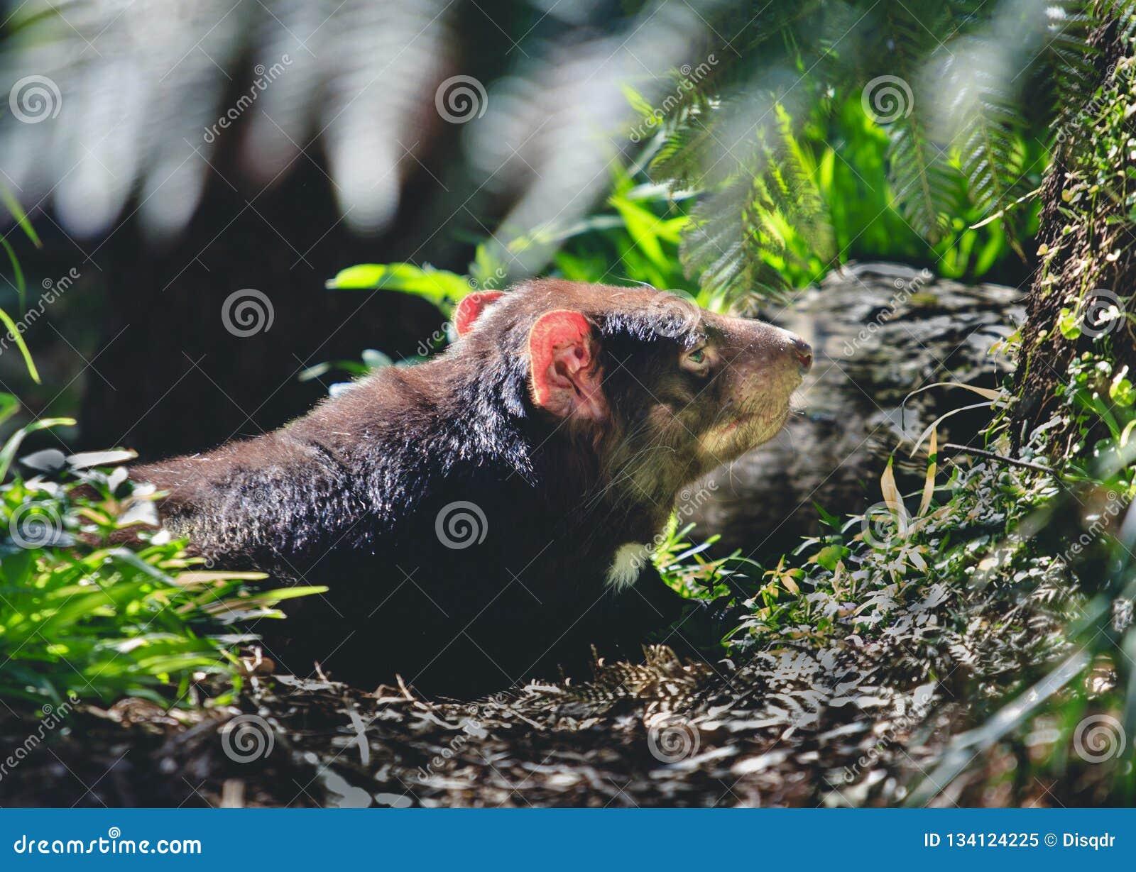 Tasmanian devil in the wild