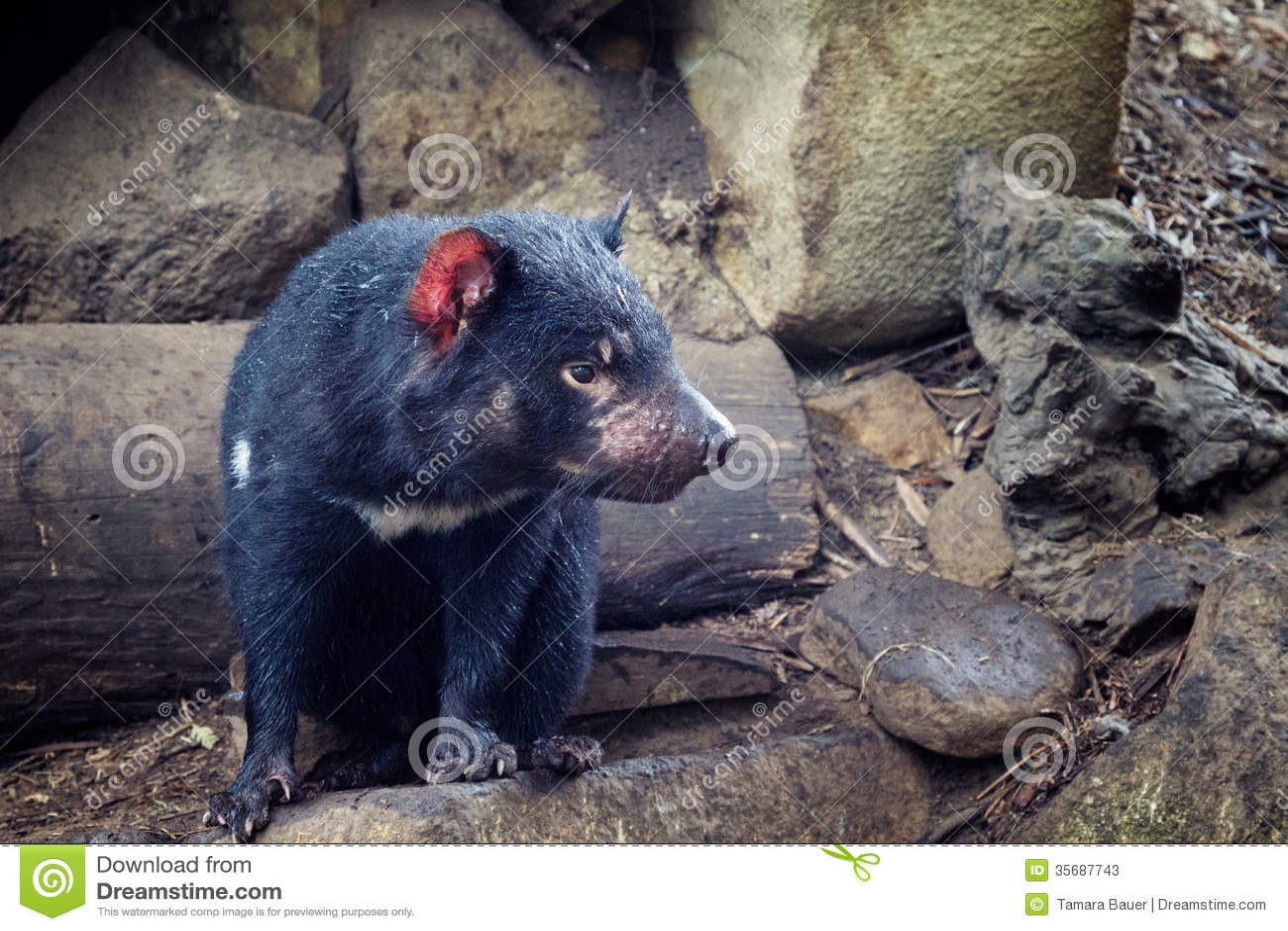 Tasmanian diabeł