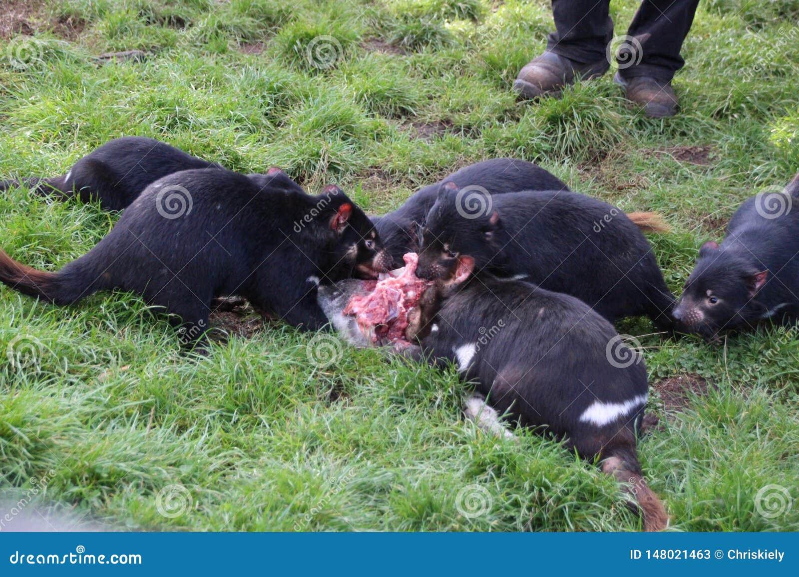 Tasmanische Teufel, die mit Familienmitgliedern essen