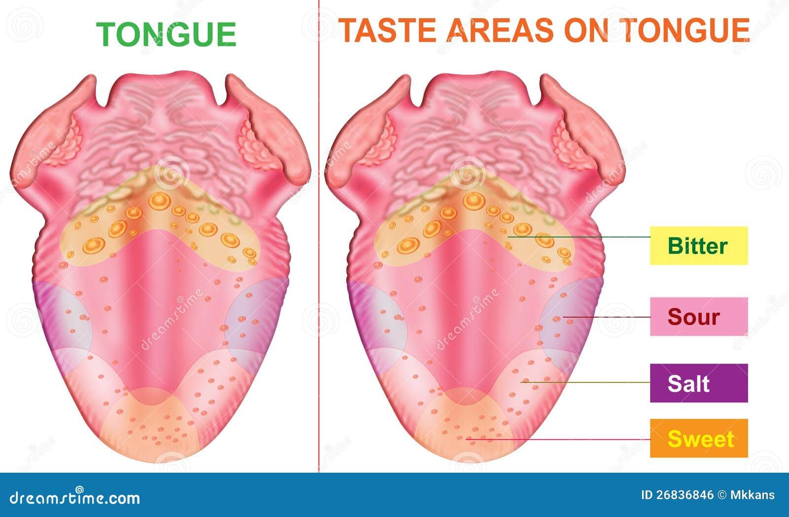 Taste Areas Of Tongue Stock Illustration Illustration Of Language