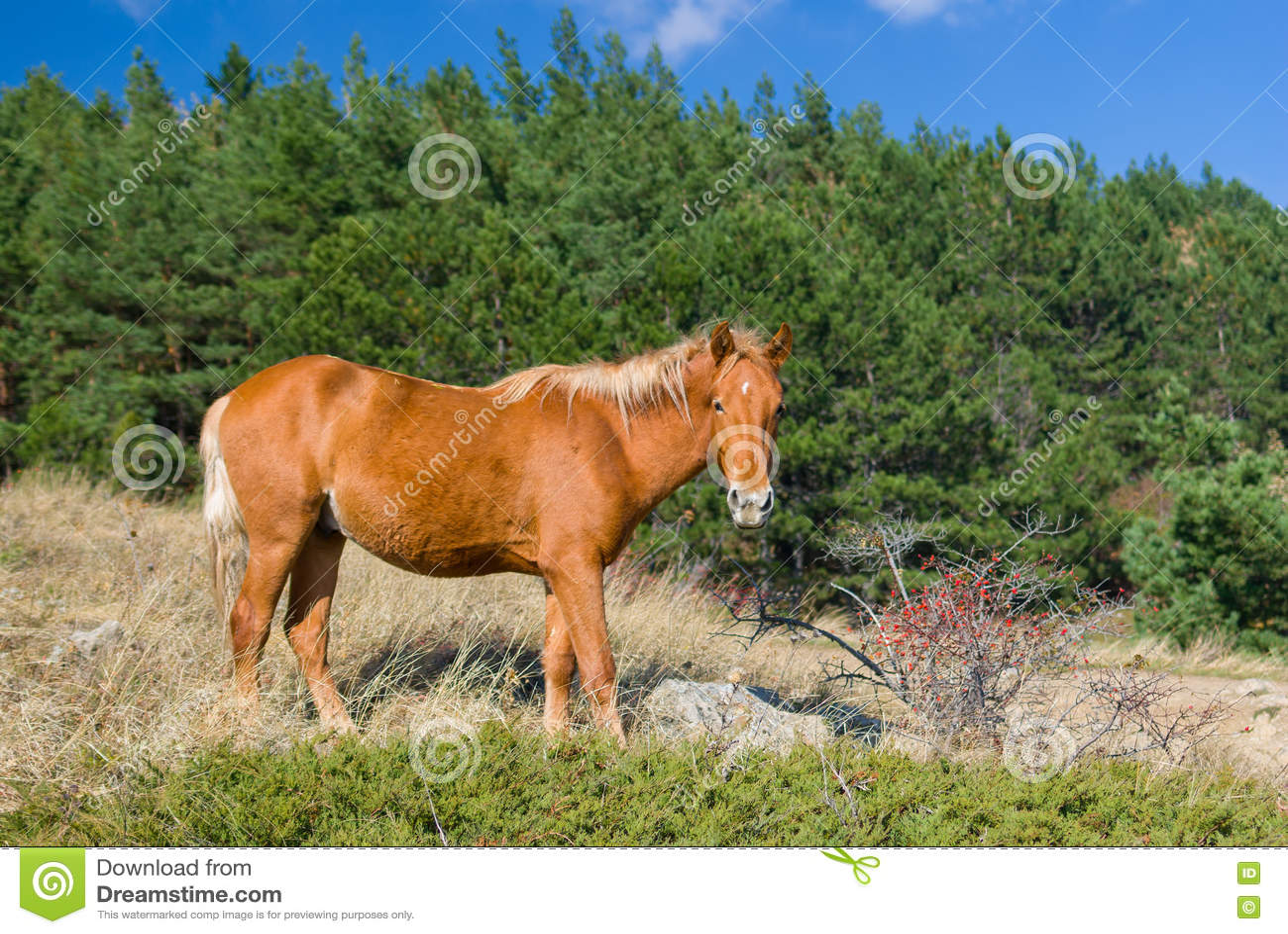 Tatar kastanjebrun häst nära busken av den lösa hund-rosen på den höstliga säsongen