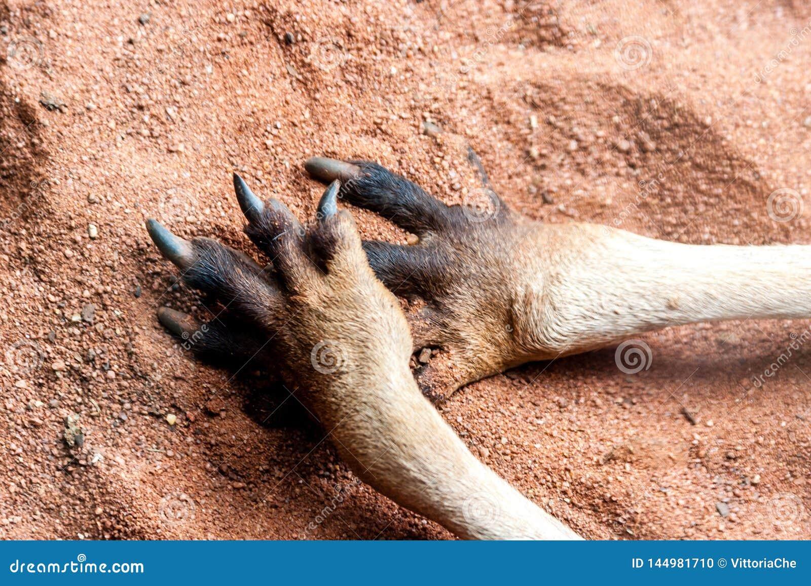 Tatzen des K?ngurus auf dem Sand Schlie?en Sie herauf Bild Australien, K?nguru-Insel