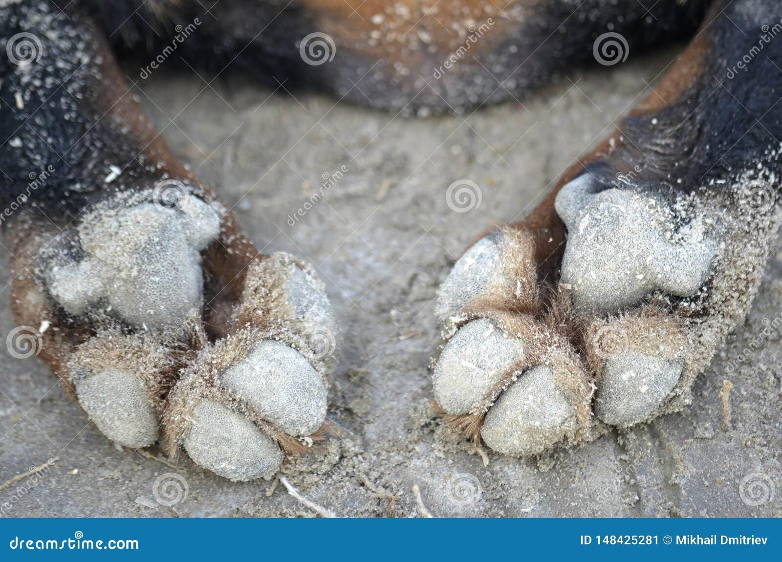 Tatzen eines Hundes auf dem Sand gro? offenbar