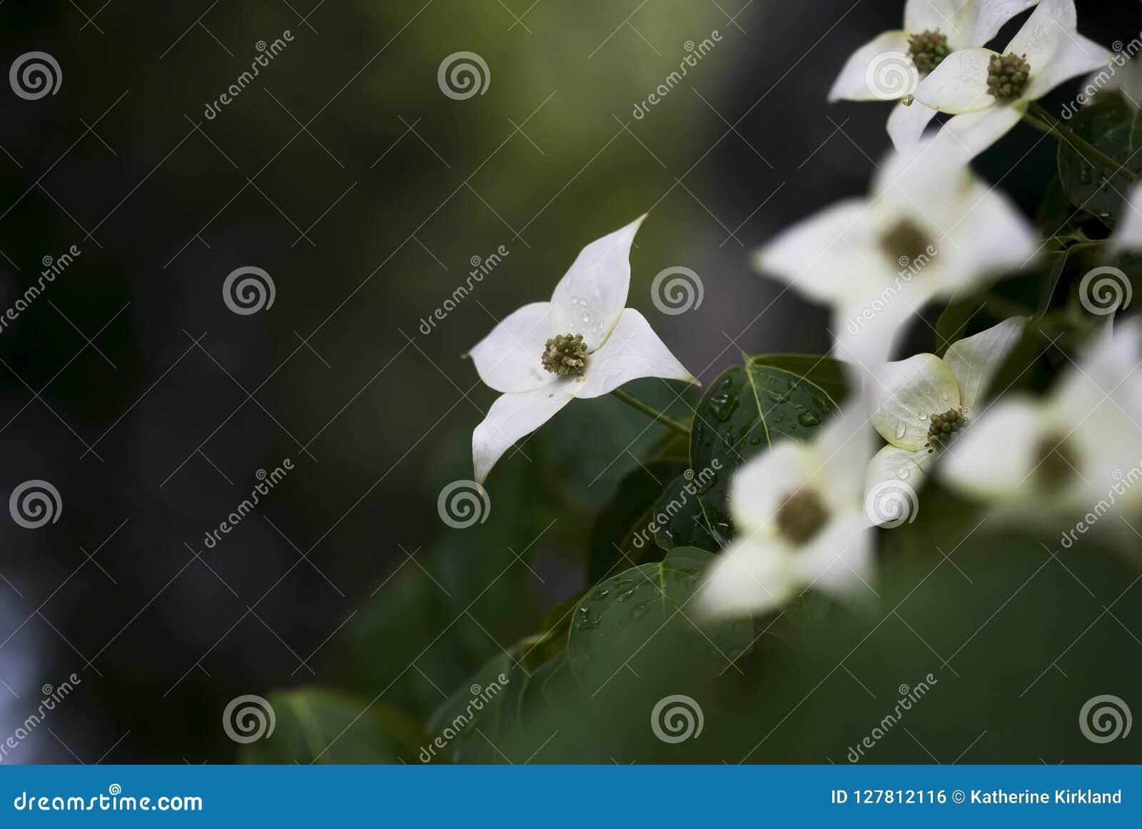Tau-Tropfen auf Hartriegel-Blume