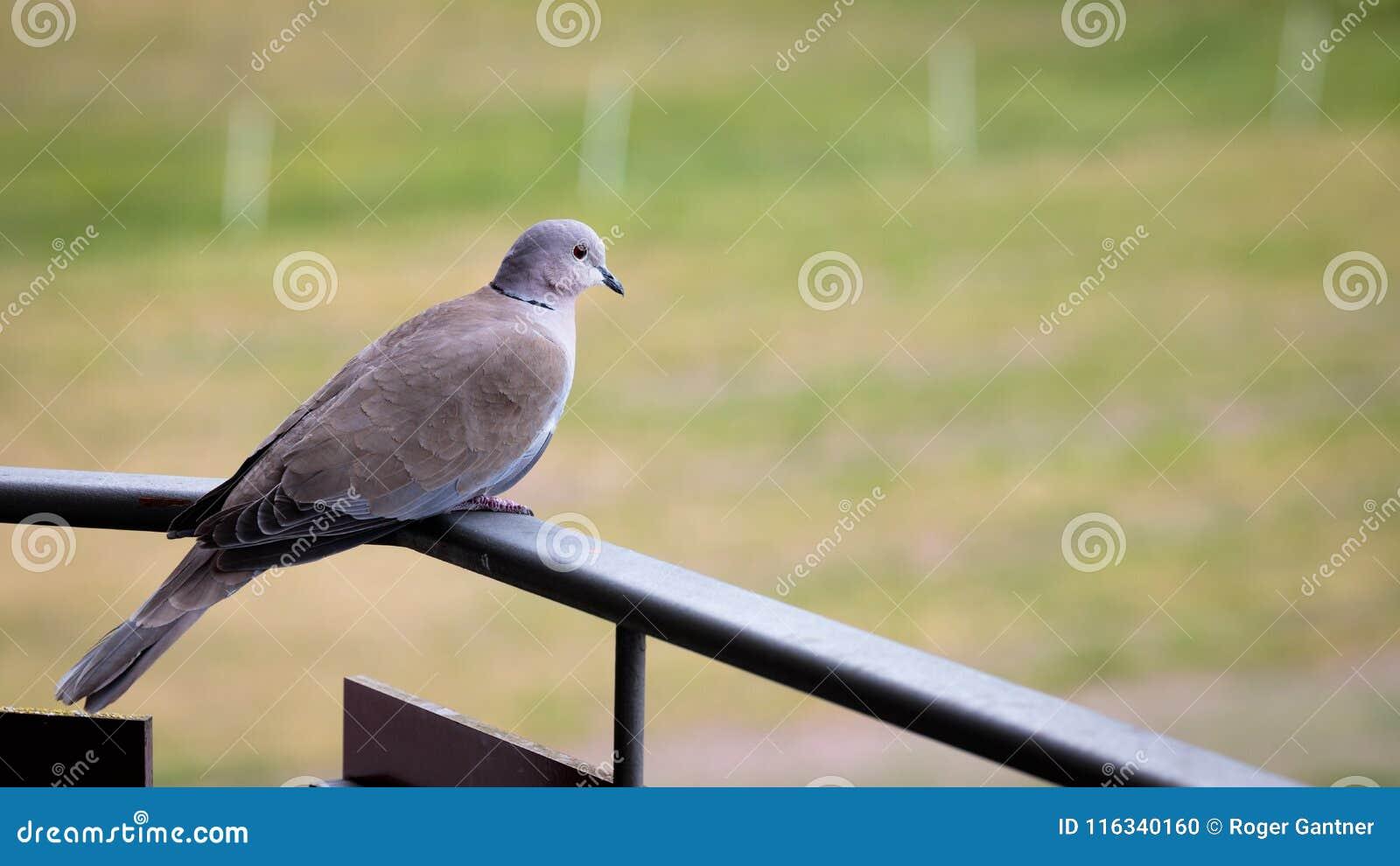 Taube auf dem Balkon