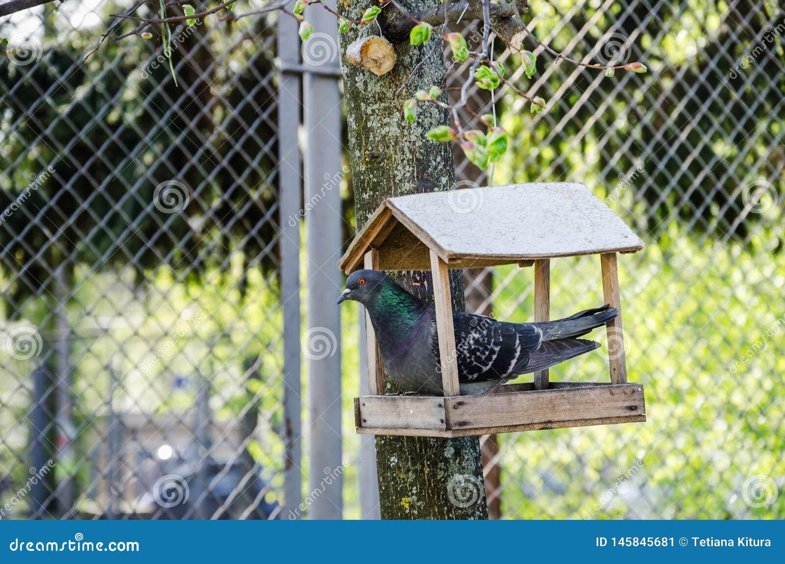 Taube in einer h?lzernen Krippe auf einem Baum