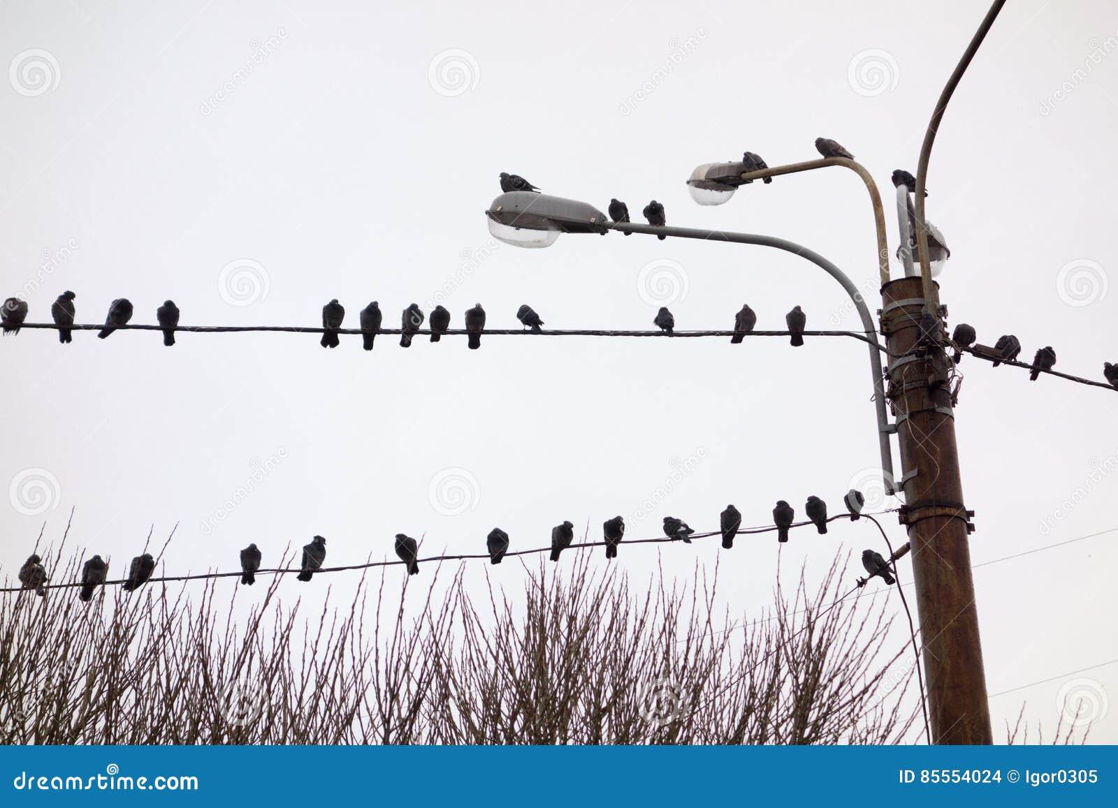 Tauben auf Drähten