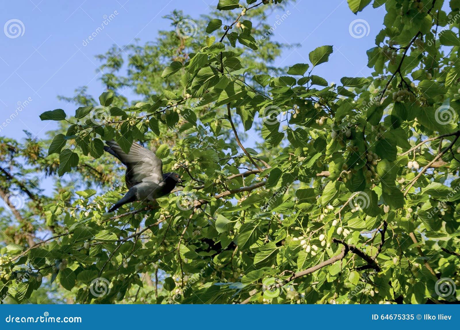 tauben im maulbeerbaum stockbild bild von baum doktoren 64675335. Black Bedroom Furniture Sets. Home Design Ideas