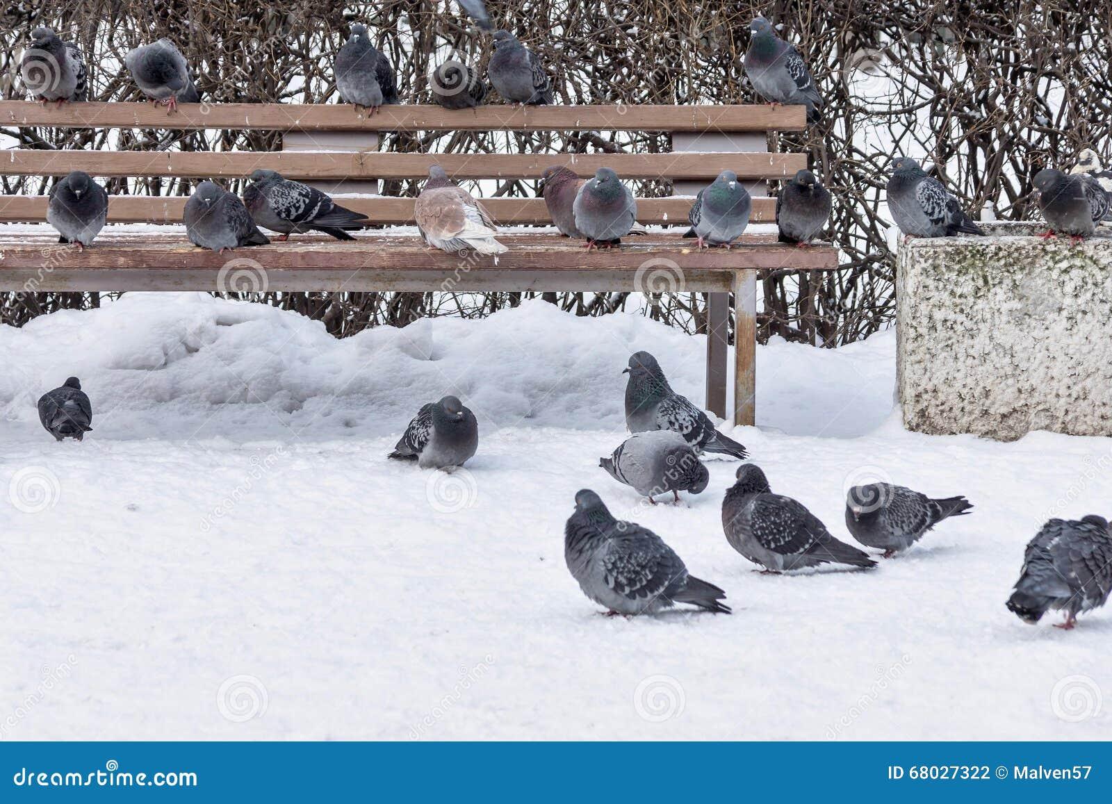 tauben im winter parken auf einer bank und einem schnee