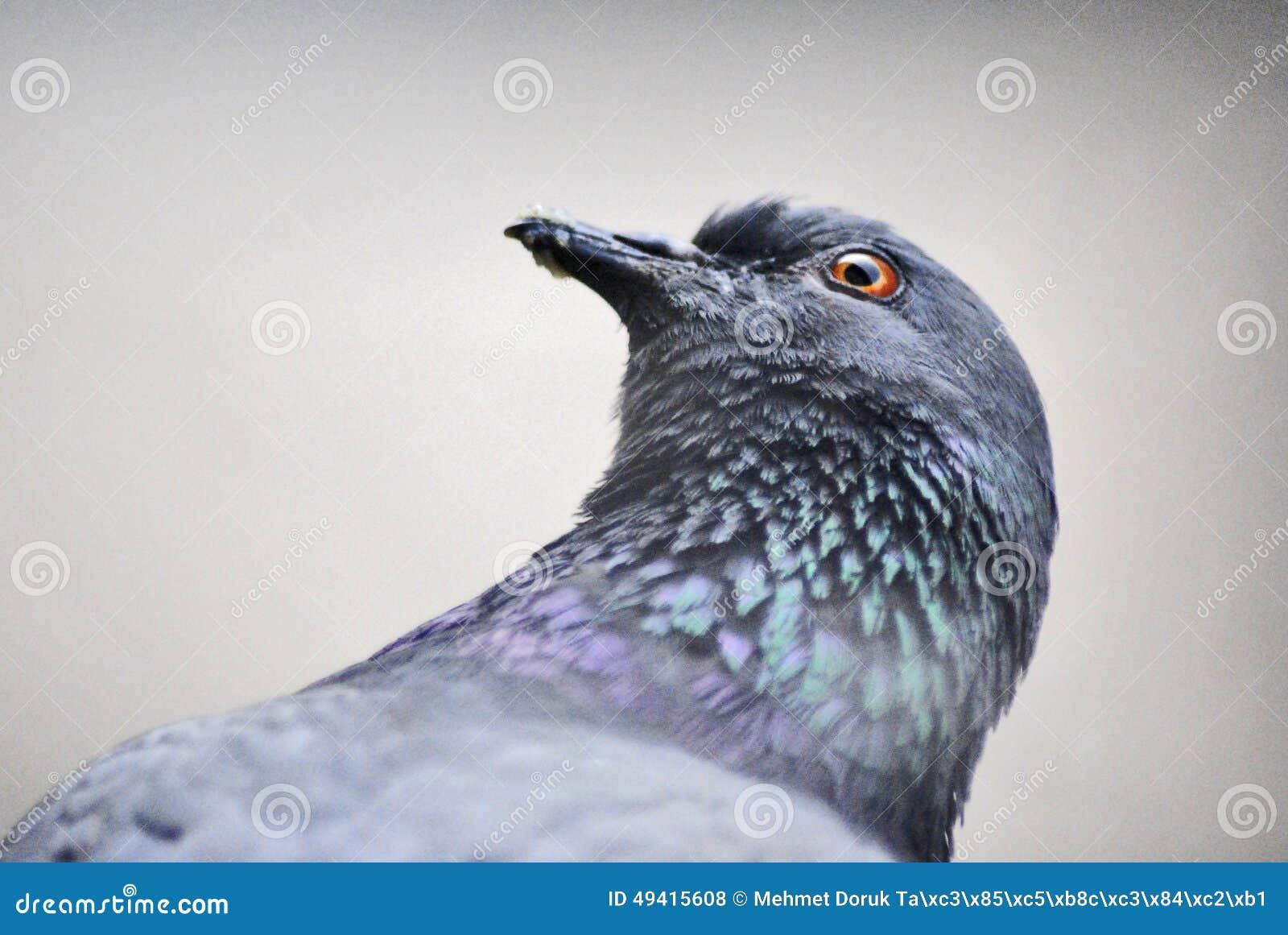 Download Tauben-Vogel stockfoto. Bild von gruppe, vogel, tiere - 49415608