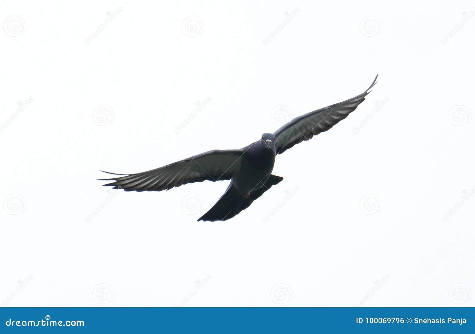 Taubenfliegen im Himmel mit laufendem Spielsport der vollen Geschwindigkeit