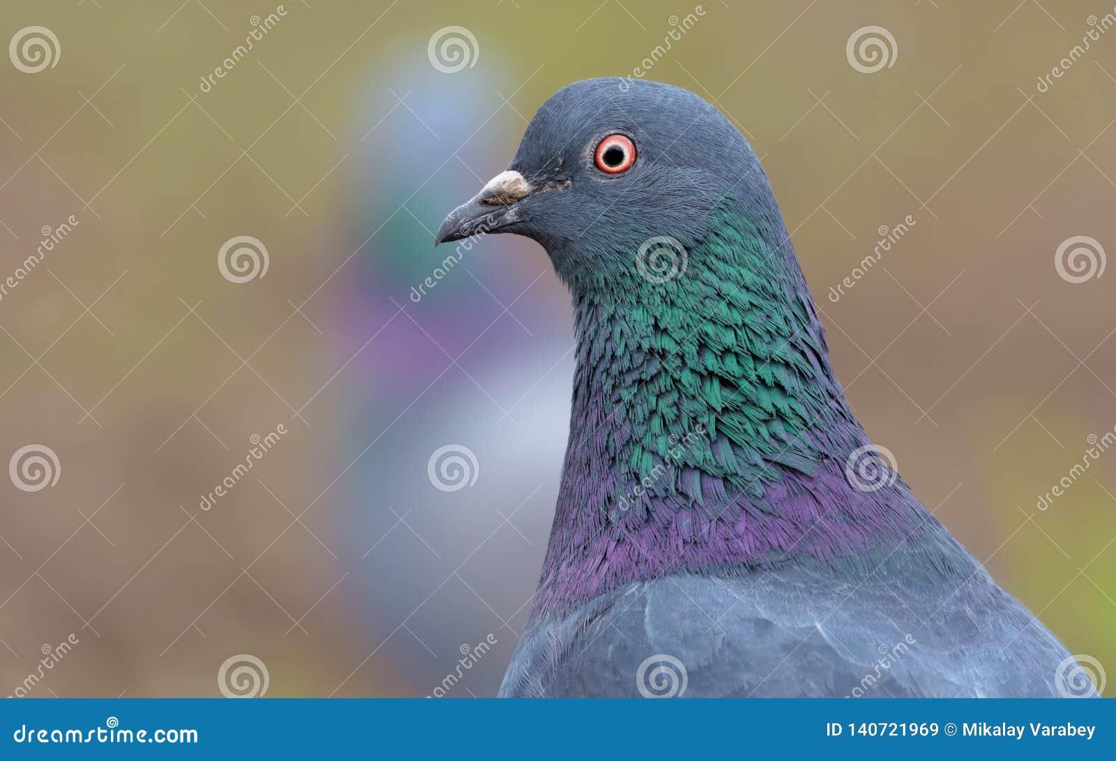 Taubenvogelporträt fom kurze Entfernung mit Gesicht und Augen in der hohen Auflösung