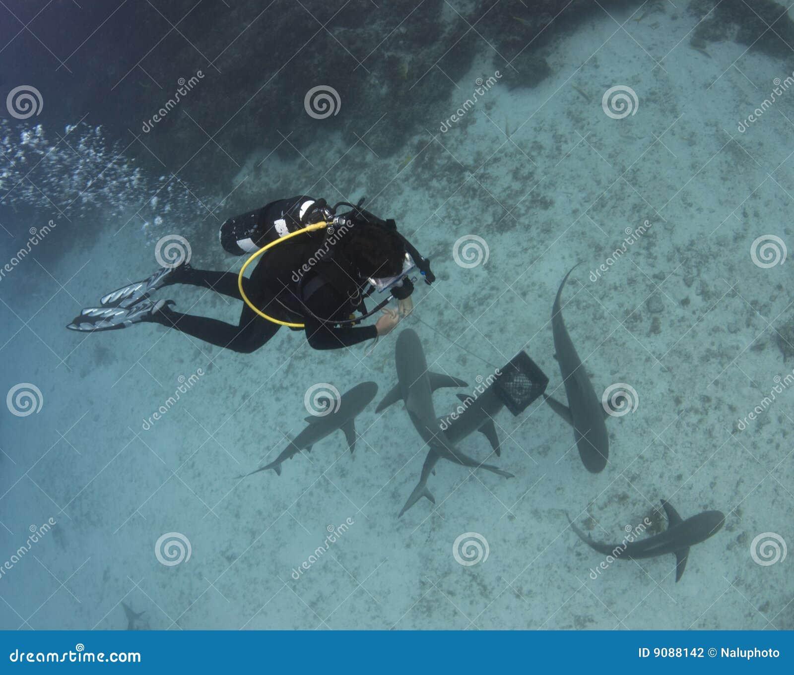 Taucher über Zitrone-Haifischen