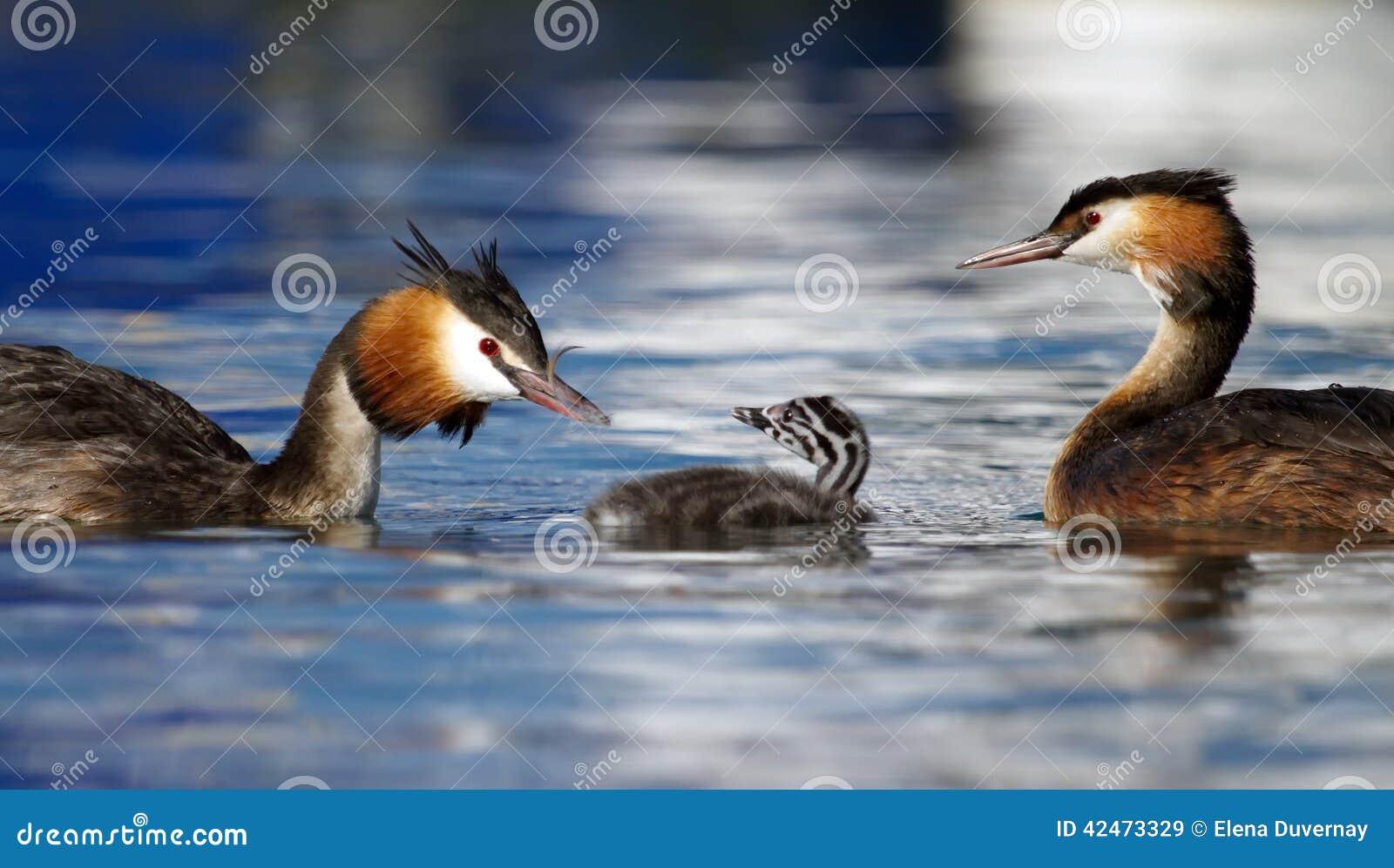 Taucher mit Haube, Podiceps cristatus, duckt Familie