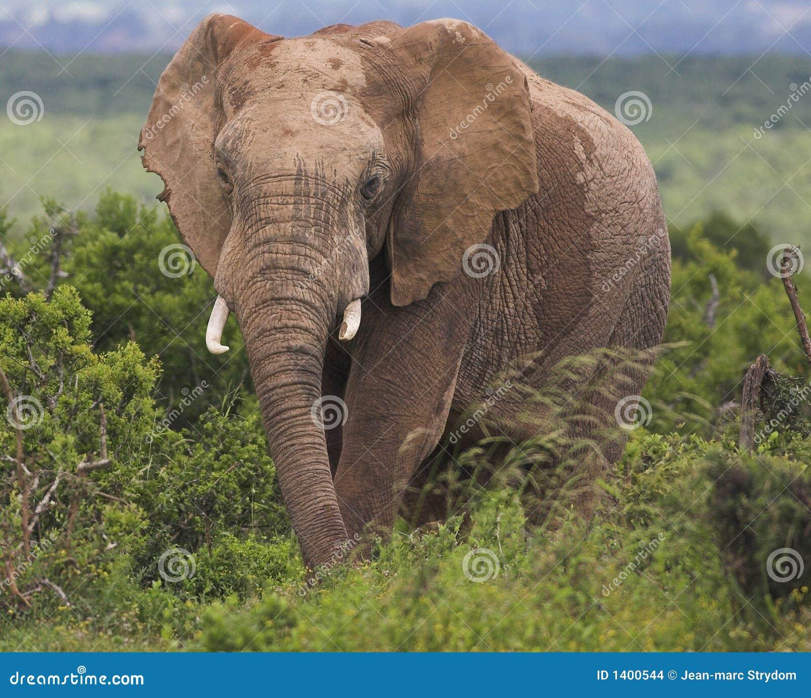 Taureau d éléphant