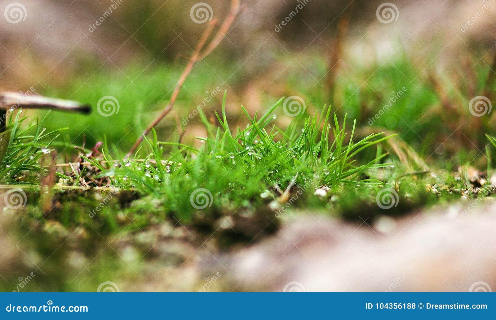 Tautropfen auf grünem Gras