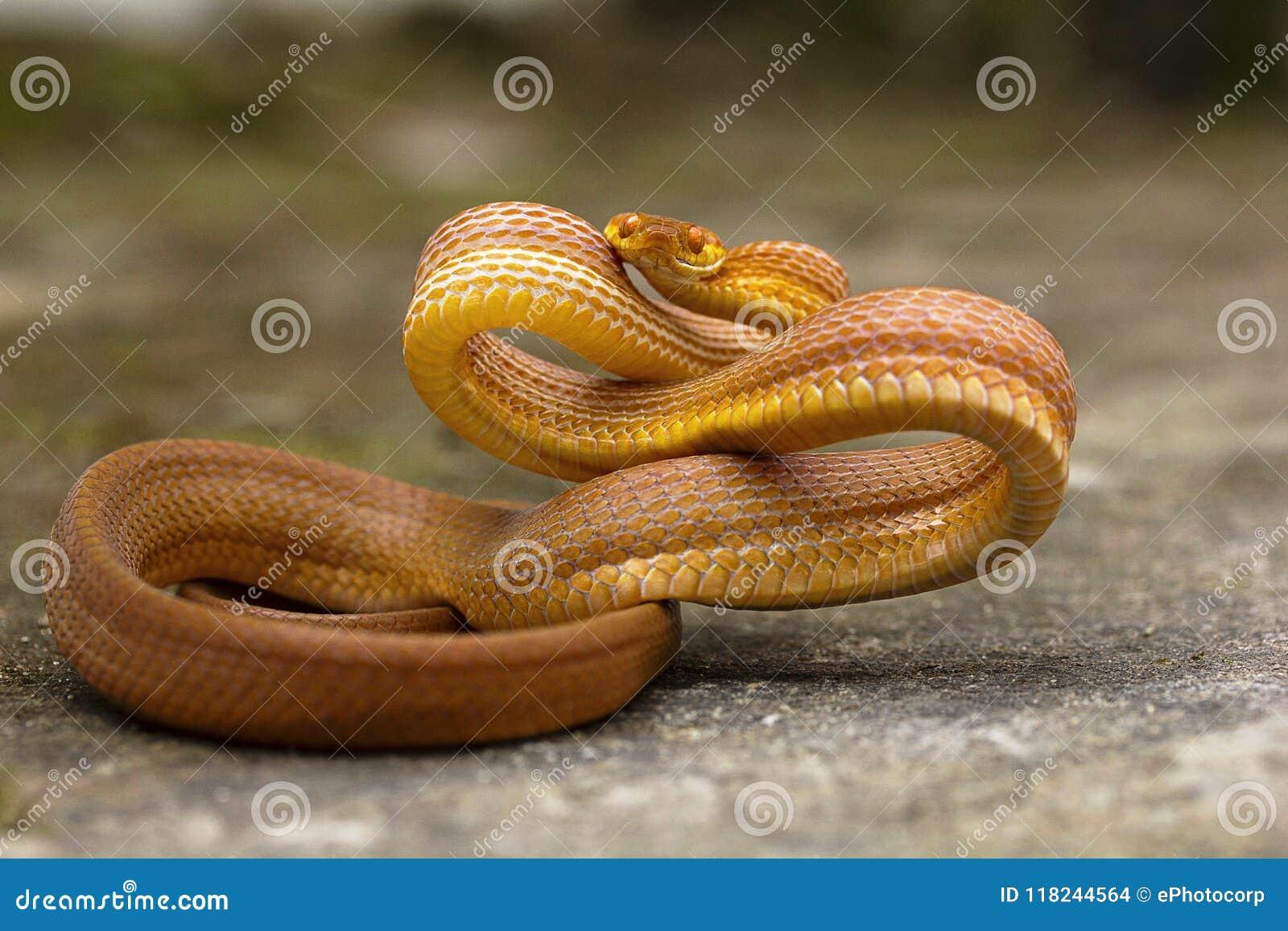 Tawny cat snake, Boiga ochracea, Colubridae, Gumti, Tripura , India