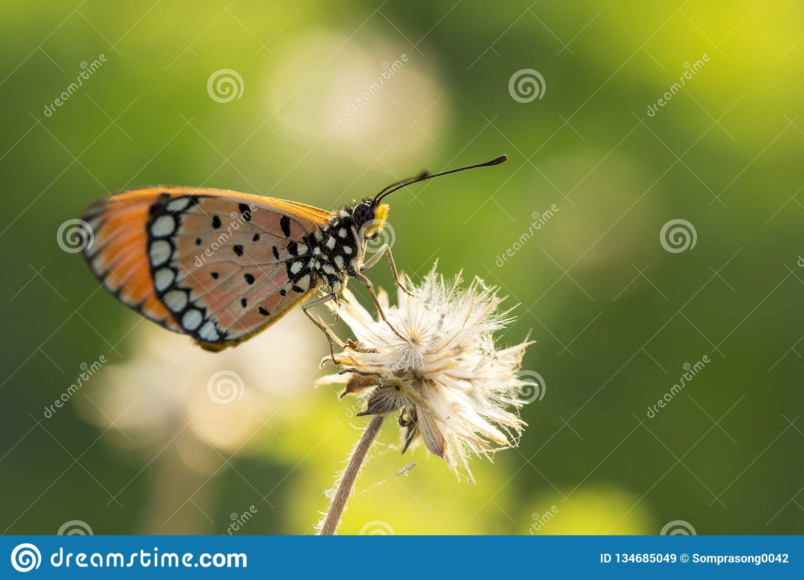 The Tawny Coster butterfly Acraea violae on flower and green nature
