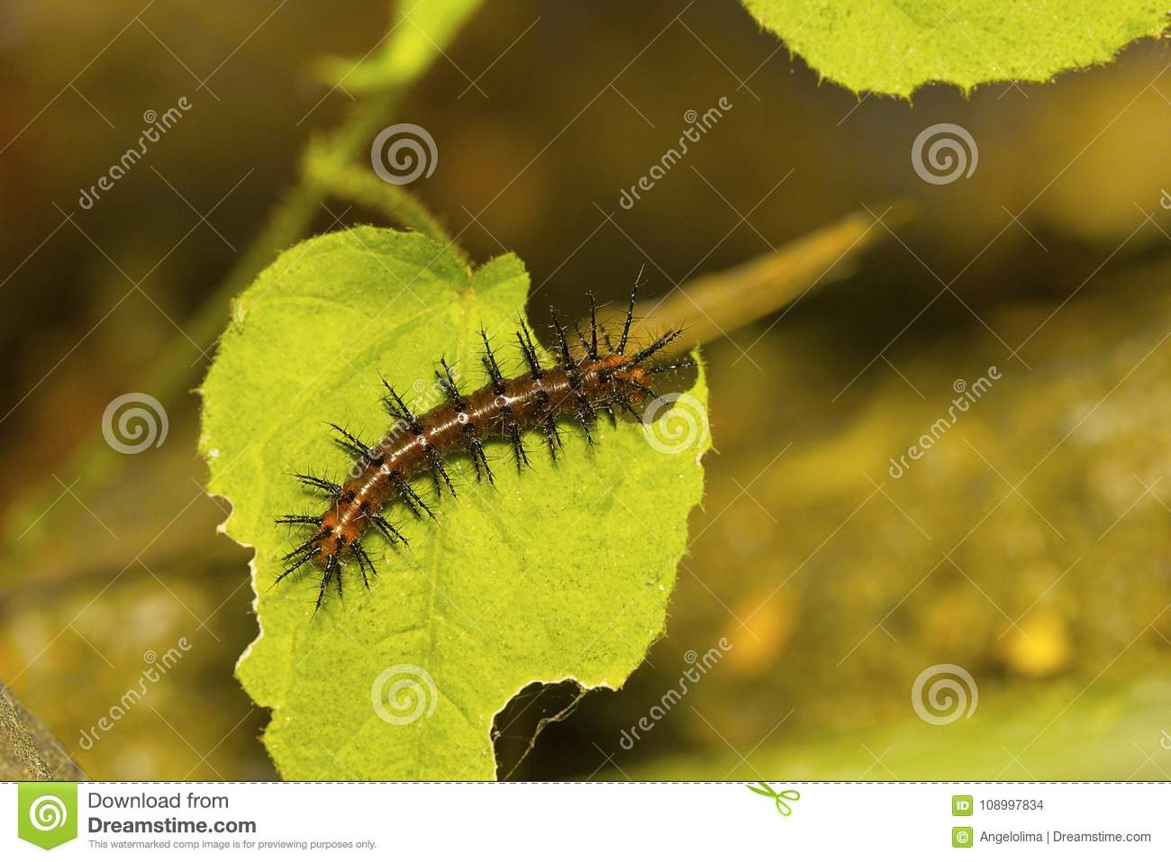 Tawny Coster Butterfly Caterpillar, Acraea Terpsicore