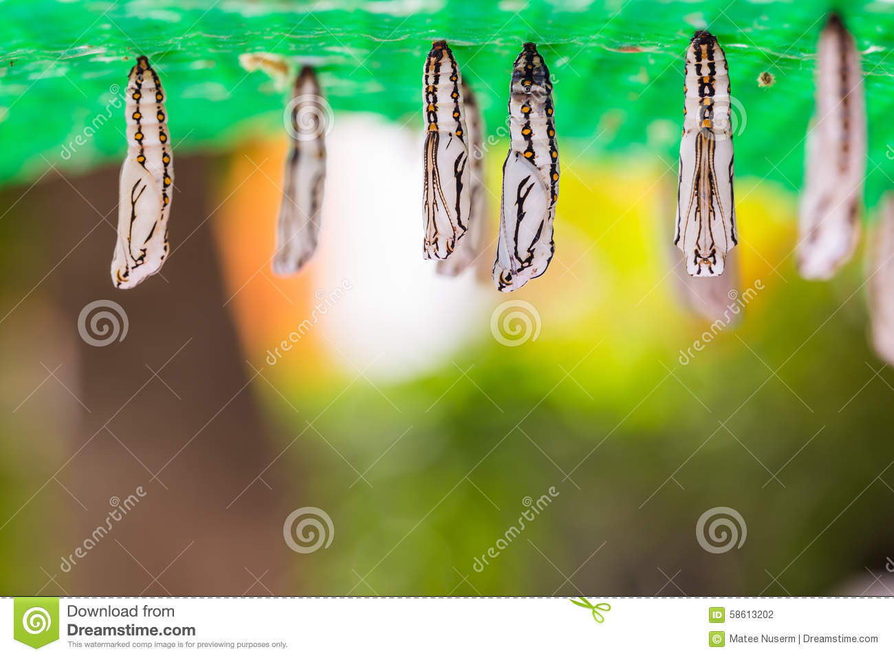 Tawny coster pupae