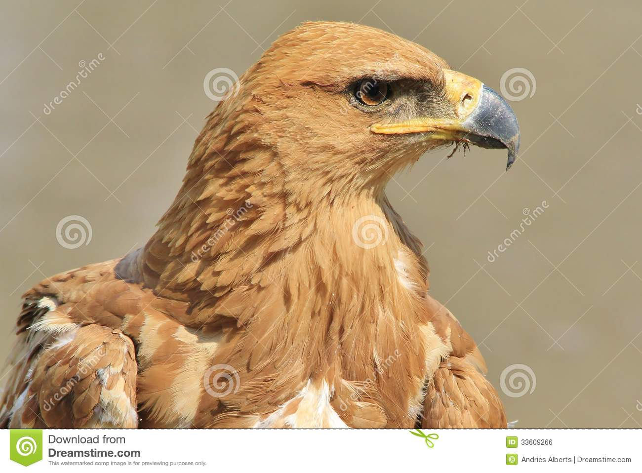 Tawny Eagle Wild Bird Background From Africa Iconic Beauty Of Gold And Yellow Stock Photo Image Of Gorgeous Inspiration 33609266