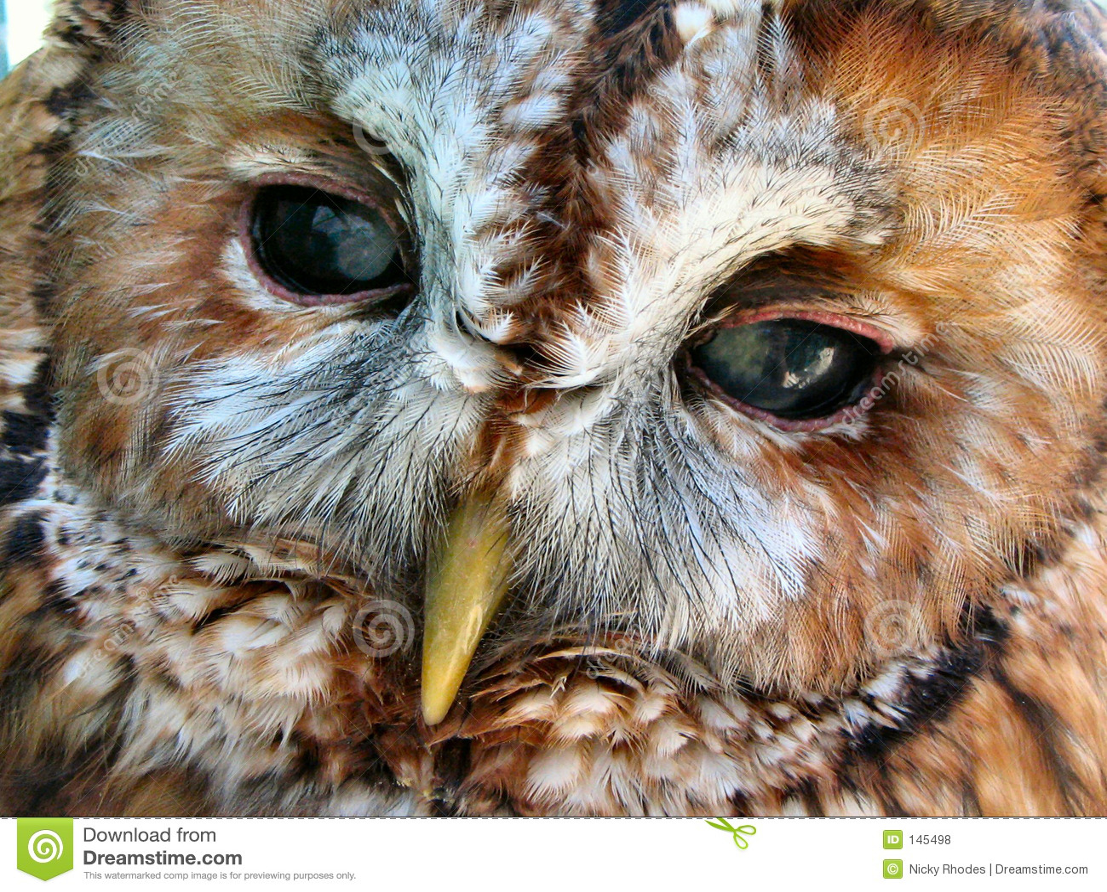 Tawny Eulen-Gesicht