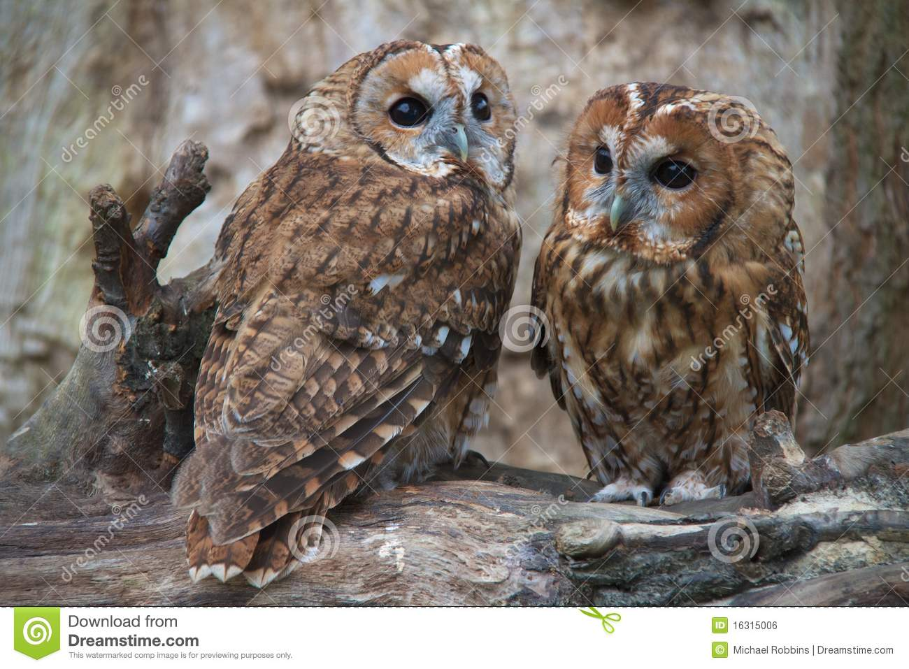 Tawny Owl Couple stock photo. Image of color, park ...