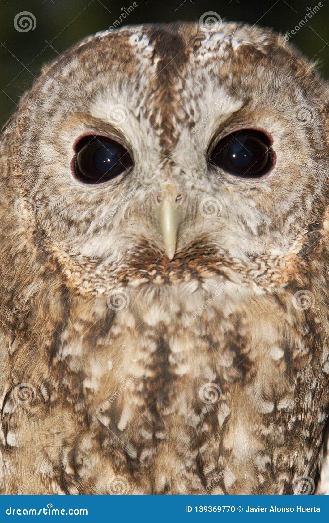 A Tawny owl, Strix aluco