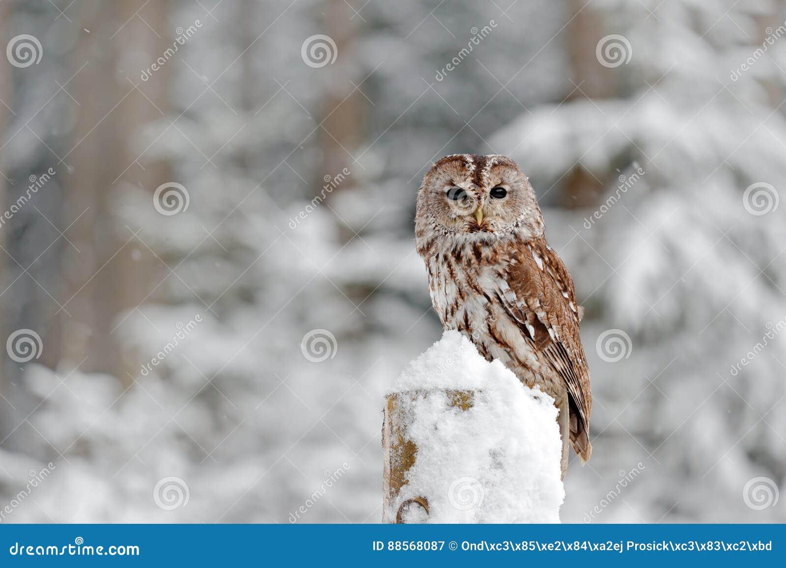 Tawny Owl-sneeuw in sneeuwval tijdens de winter, sneeuwbos op achtergrond, aardhabitat wordt behandeld die Het wildscène van Slow