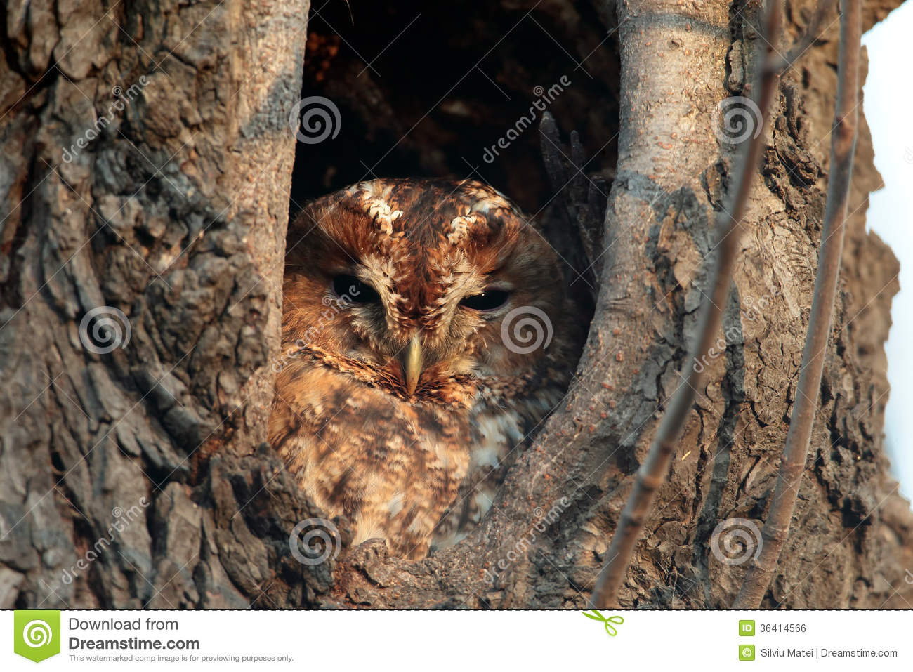 Tawny Owl, Strix aluco,sits in a hole in an old tree