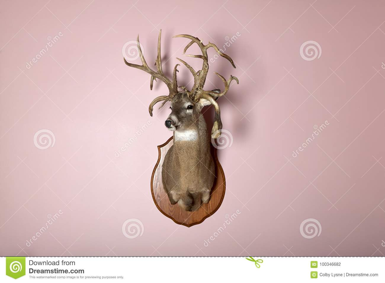 Wall Mounted Deer Head With Antlers And Copy Space Stock