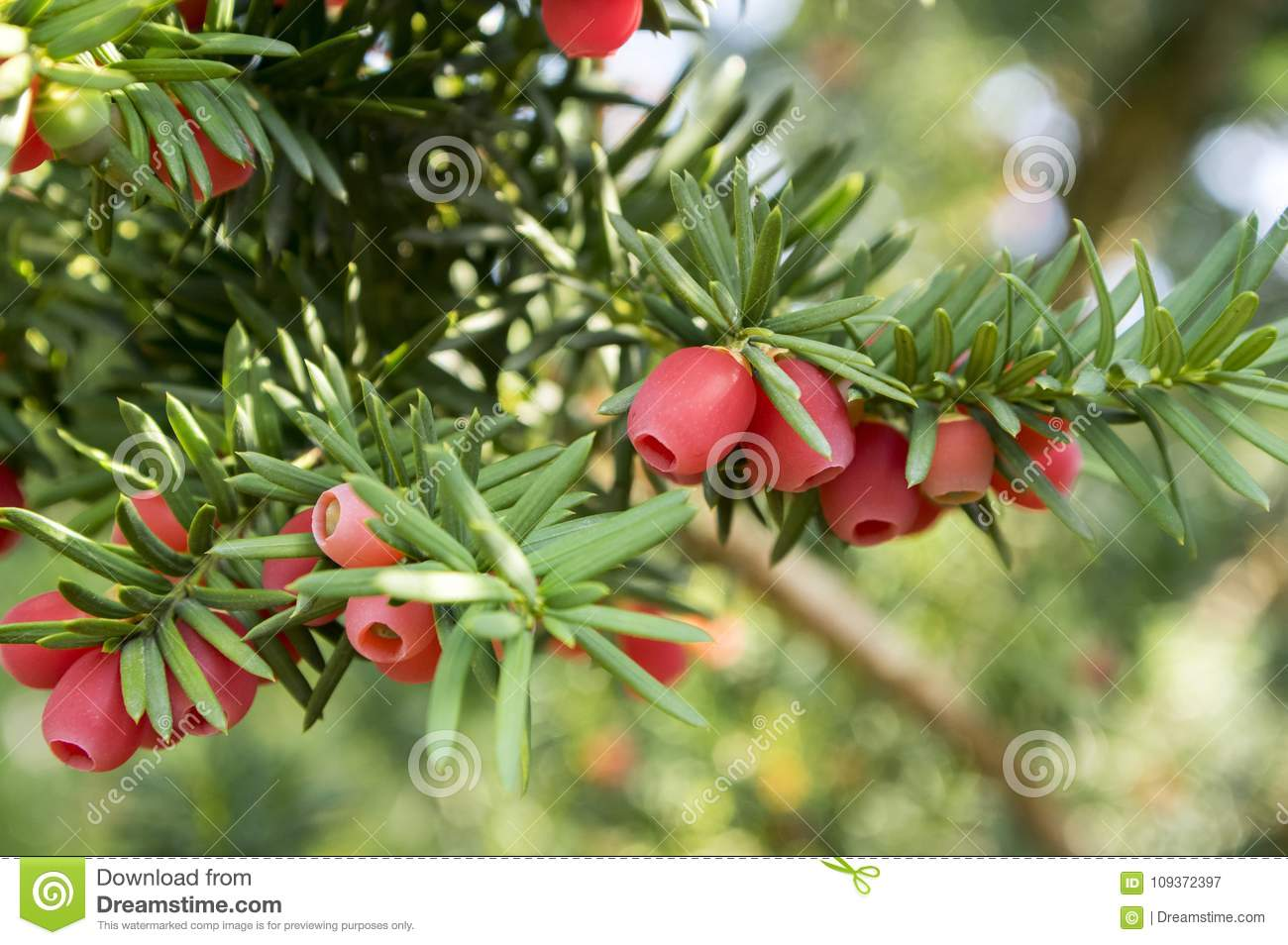 taxus baccata european yew is conifer shrub with poisonous and