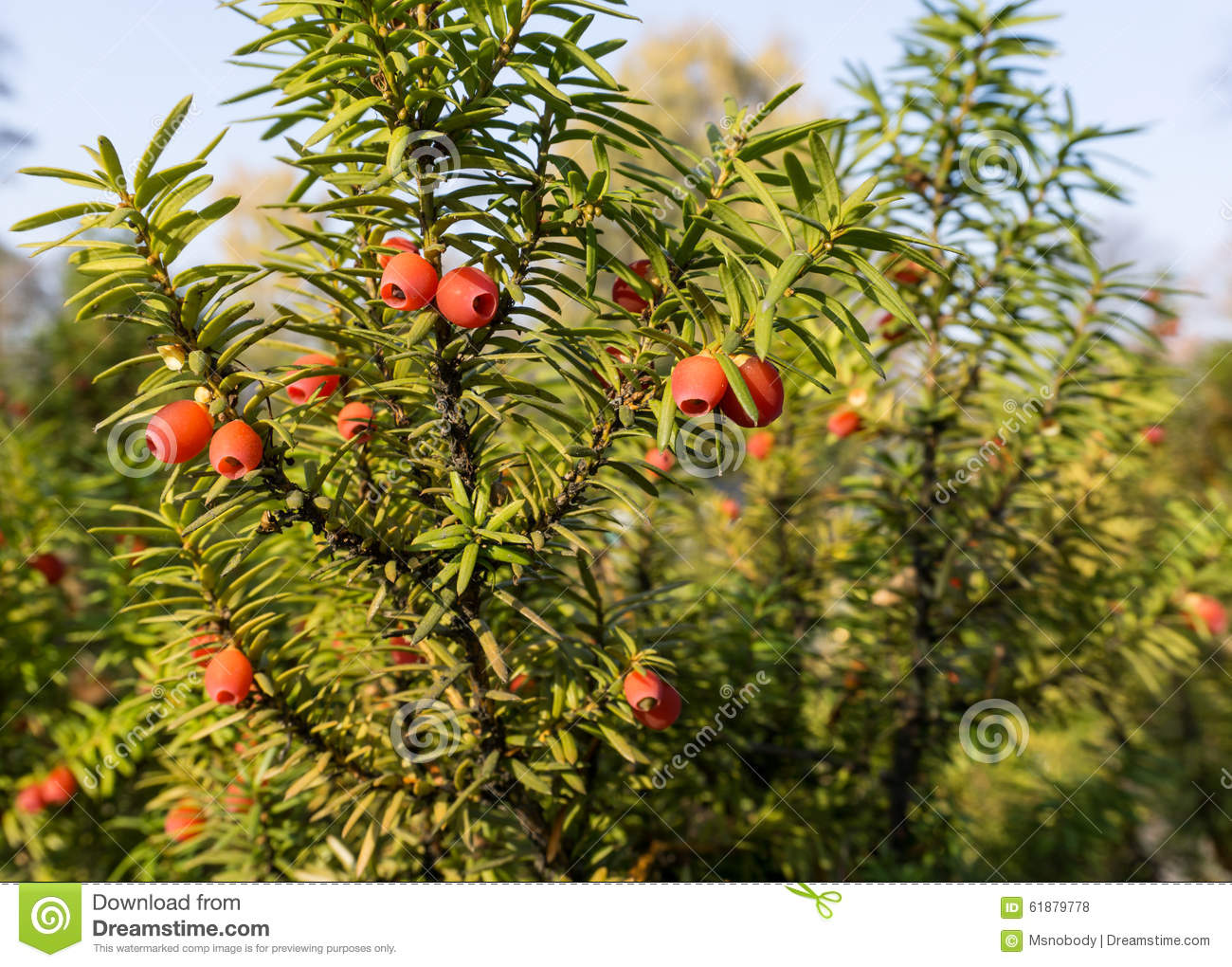 taxus baccata european yew stock photo image of baccata color