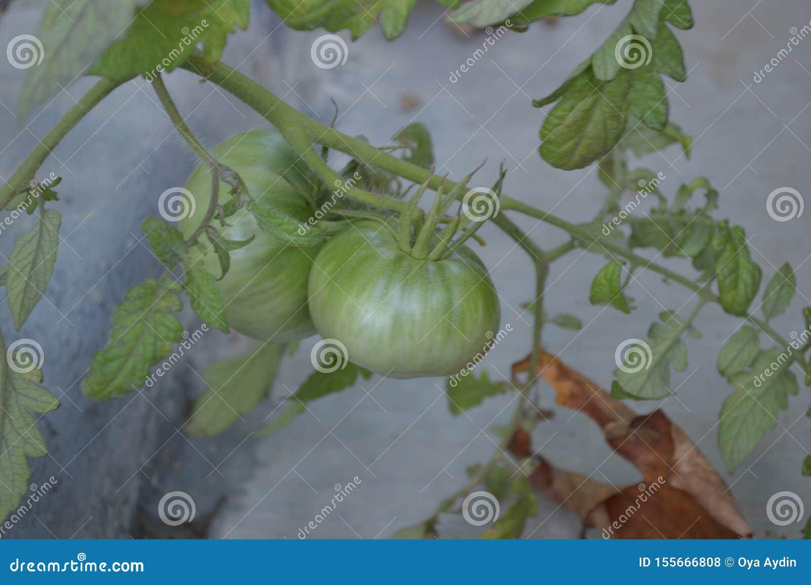 Taze yeșil domates