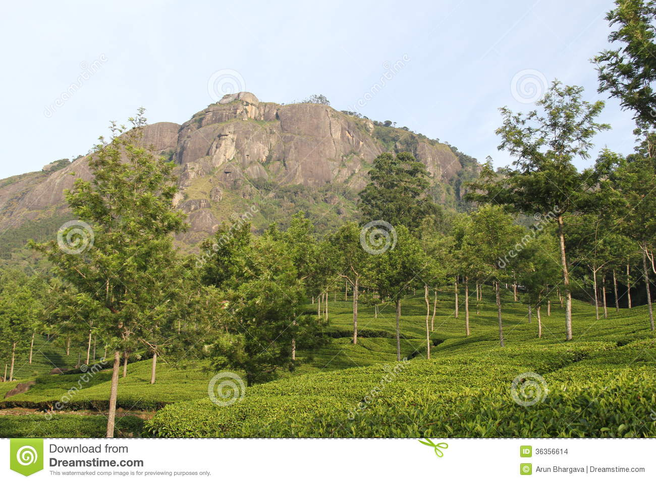 Tea Estate And Wind Breaker Trees Stock Images