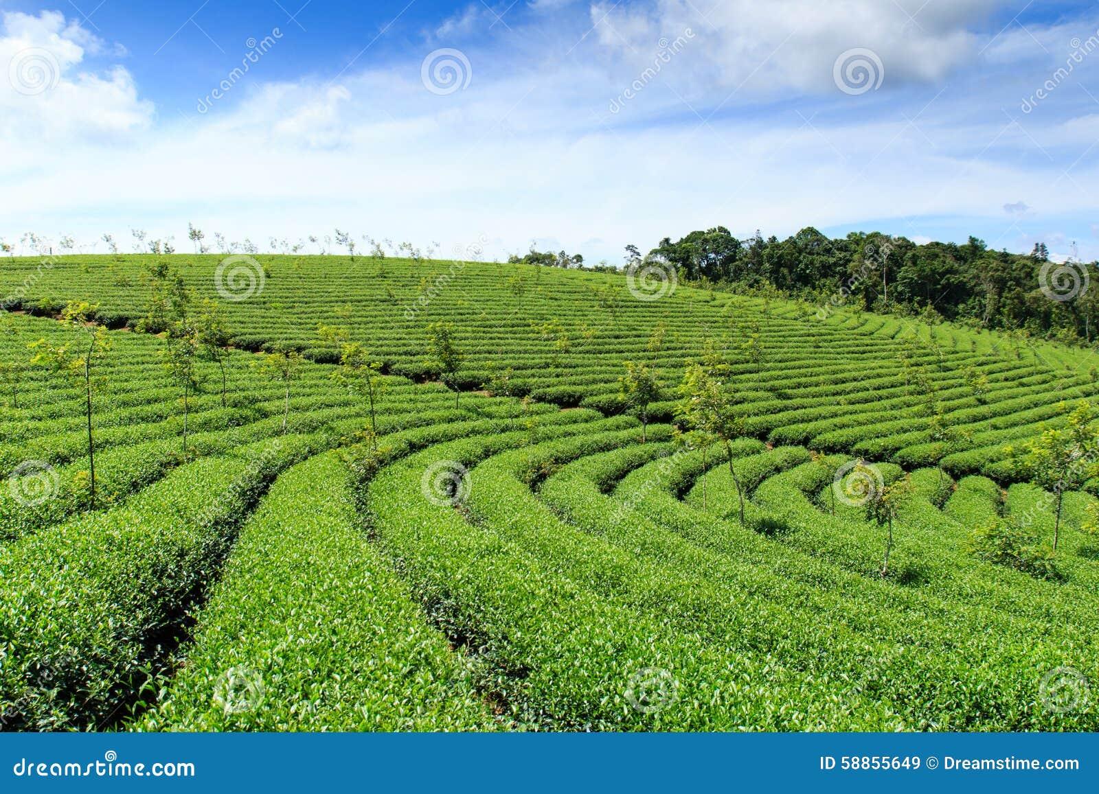 Tea farm at Bao Loc highland, Vietnam.